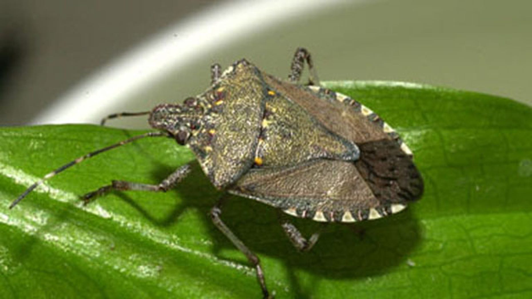 The brown marmorated stink bug(Halyomorpha halys) is indigenous to Asia and is considered an agricultural pest in Japan.