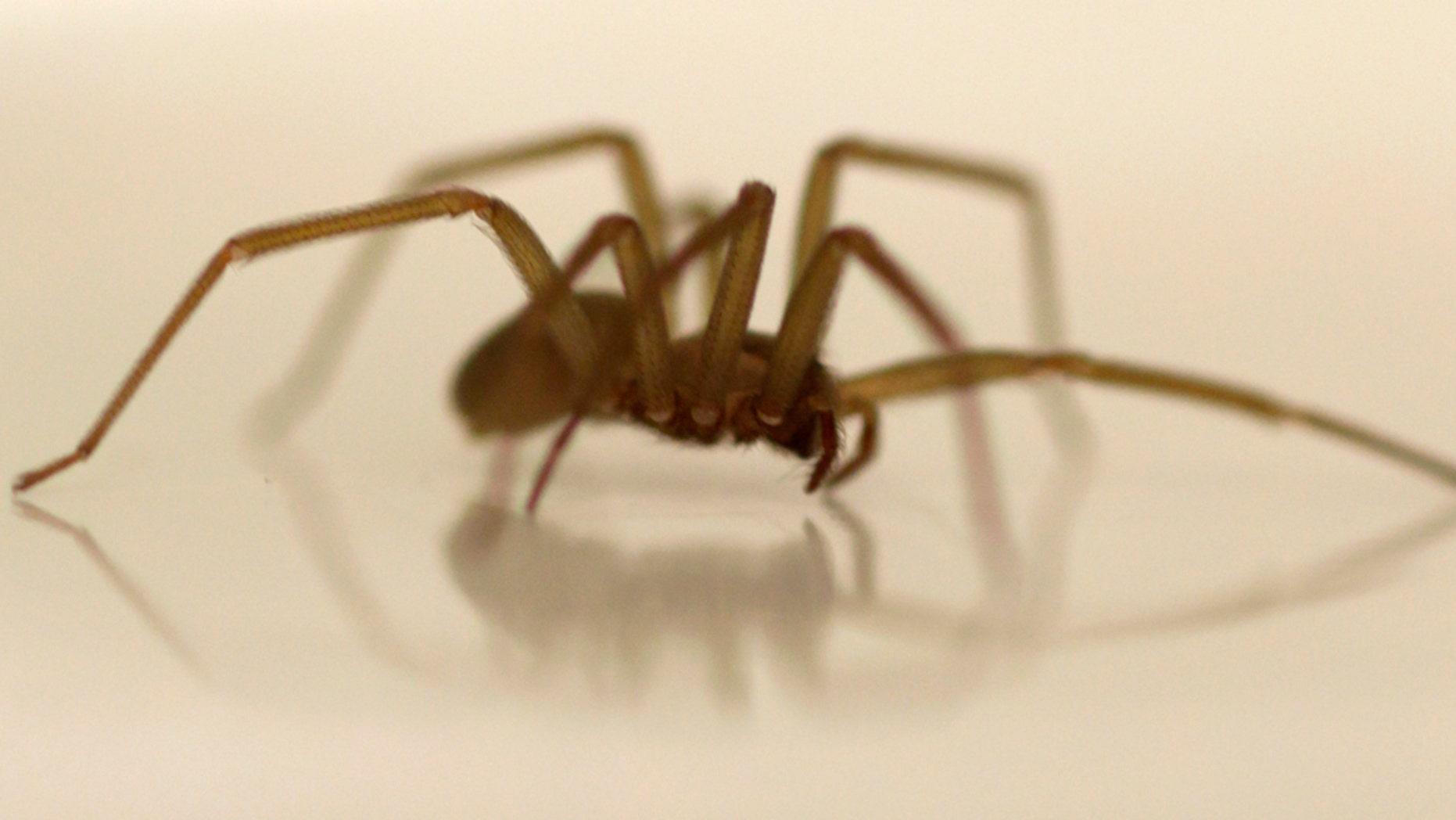 A live Brown Recluse Spider crawls in a dish at the Smithsonian Institution National Museum of Natural History in Washington, Wednesday, March 30, 2011. It's that time of year when the bugs emerge to bug us. Some can pose real threats _ Lyme disease from tiny ticks, West Nile virus from mosquitoes, or life-threatening allergic reactions to bee stings. But most bug bites in this country are an itchy nuisance. (AP Photo/Carolyn Kaster)