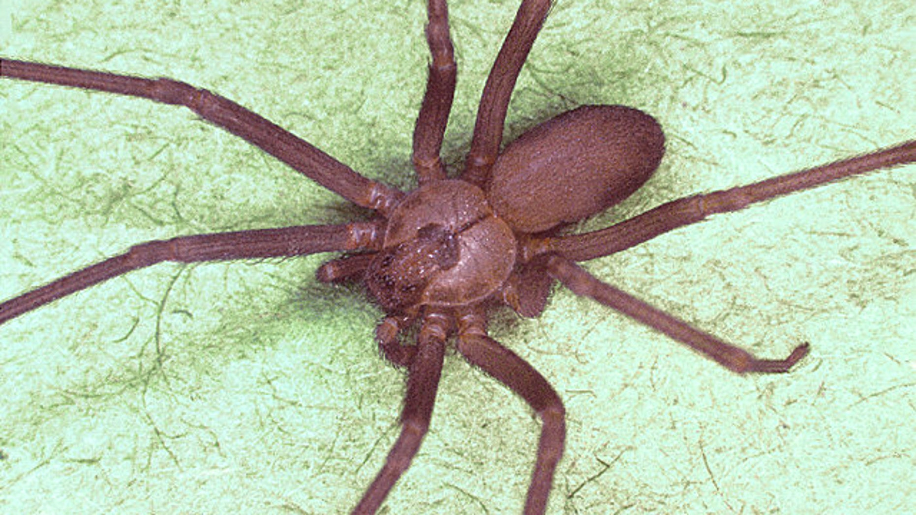 A brown recluse spider, or Loxosceles reclusa, similar to the ones Gail Ingram found in her New York City apartment.