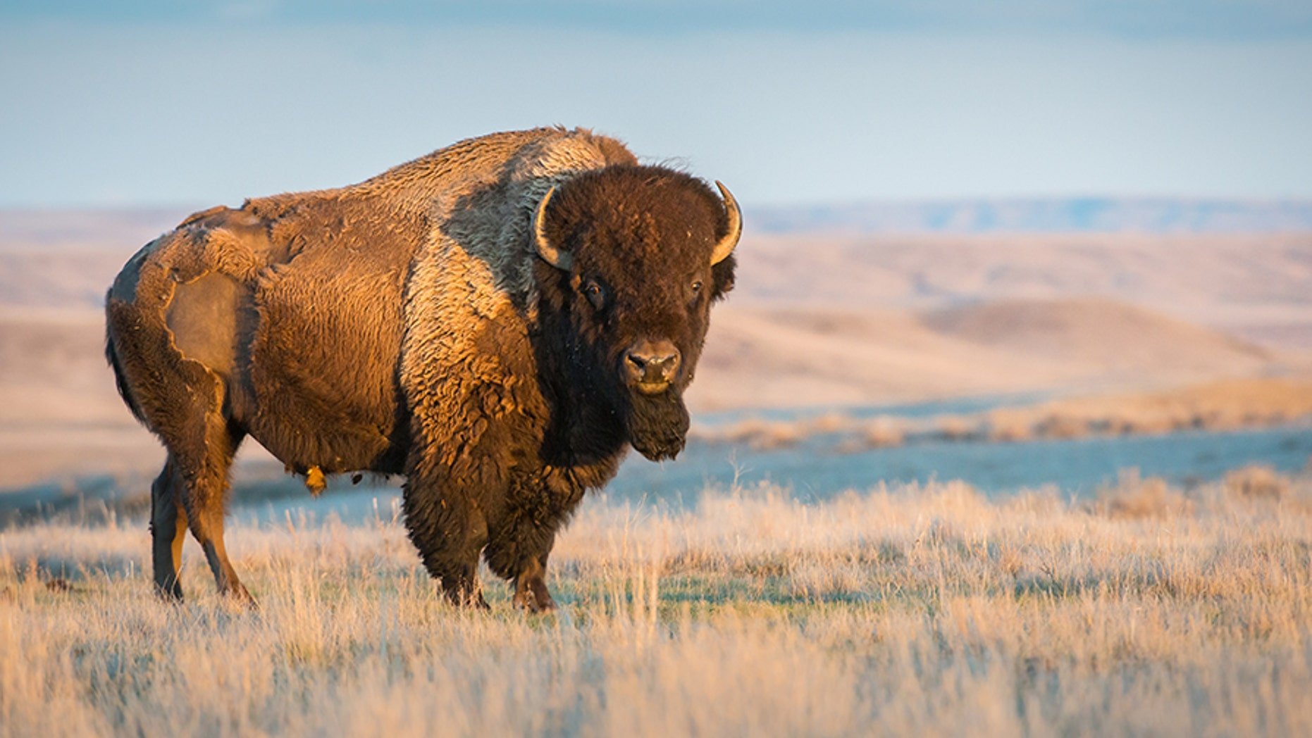 eebea39a54f A buffalo has gored a man camping in Southern California. Buffalo are  common and roam