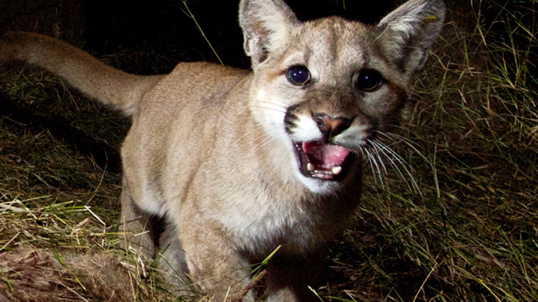 A remote camera recently captured photos of a mountain lion and her 10-month-old kittens, P-28 and P-30, feeding on a kill in Malibu Creek State Park, Calif. Warning: Pictures that follow contain graphic content.