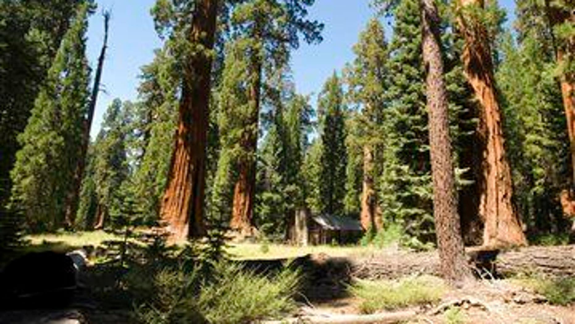 In this Aug. 27, 2009 photo, giant sequoias dwarf a cabin in the upper Mariposa Grove at Yosemite National Park, Calif.
