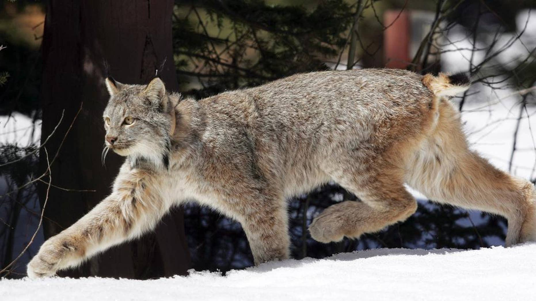 FILE - In this April 19, 2005 file photo, a Canada lynx heads into the Rio Grande National Forest after being released near Creede, Colo. Canada lynx gained federal protections in New Mexico on Thursday, Sept. 11, 2014, but U.S. wildlife officials again declined to designate critical habitat for the elusive wild cats in the Southern Rockies, parts of New England and other areas not considered essential to their survival. The two-part finding from the U.S. Fish and Wildlife Service means the forest-dwlling lynx will be protected as threatened throughout the lower 48 states. (AP Photo/David Zalubowski, File)