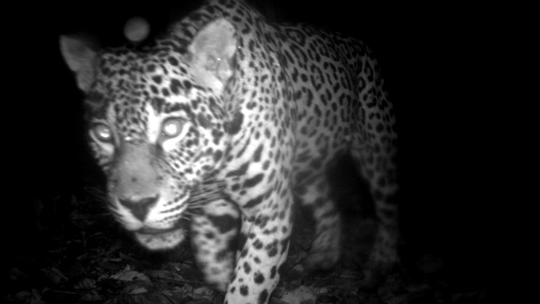 """A Panthera Onca (Jaguar), a near threatened species, spotted on """"candid camera"""" in the Central Suriname Nature Reserve, Suriname."""