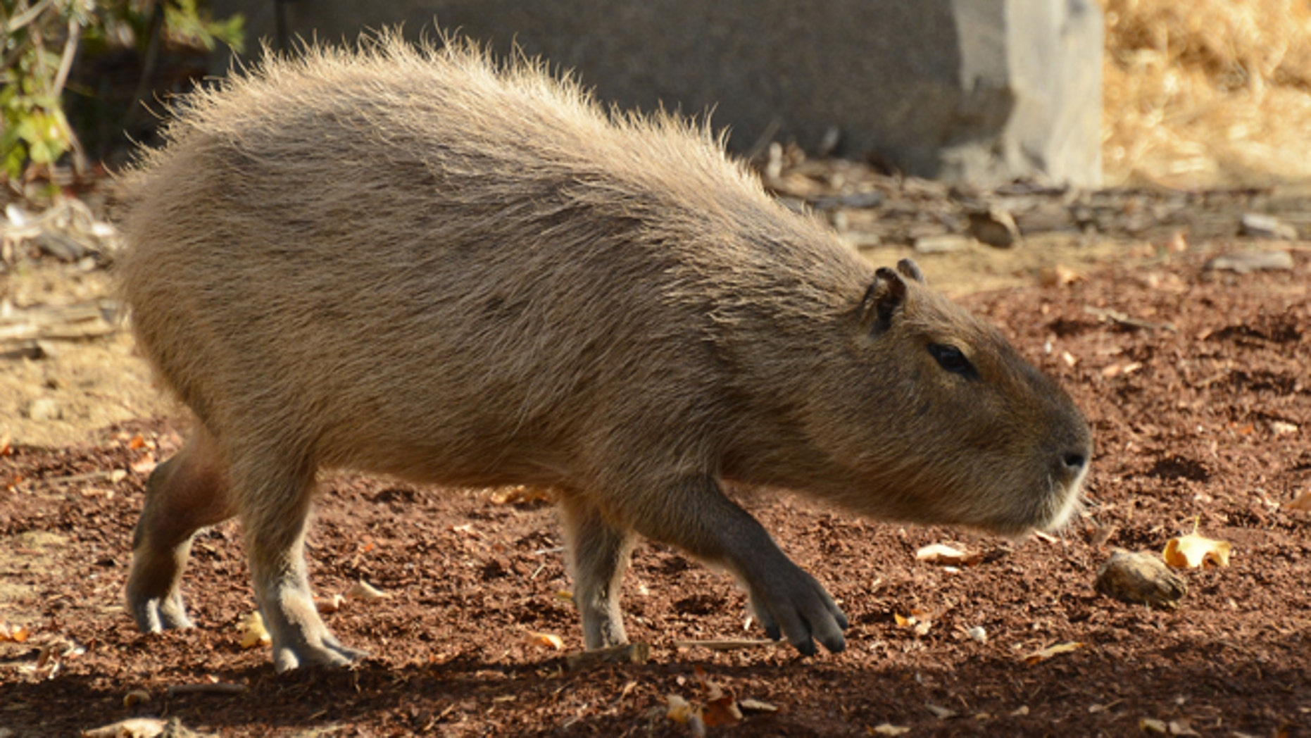 A Capybara is pictured at the Paris Zoological Park. AFP PHOTO / BERTRAND GUAY        (Photo credit should read BERTRAND GUAY/AFP/Getty Images)