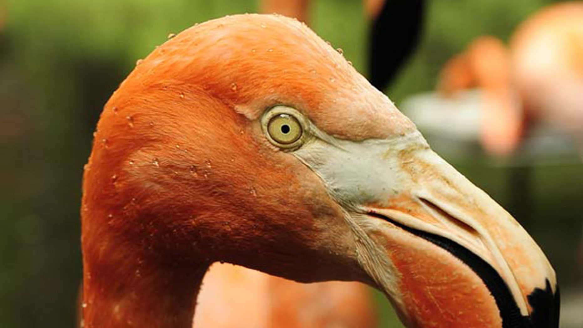 Flamingoes are strongly affected by declines in the availability and quality of wetland habitat in the Caribbean, South America, Asia and Africa.