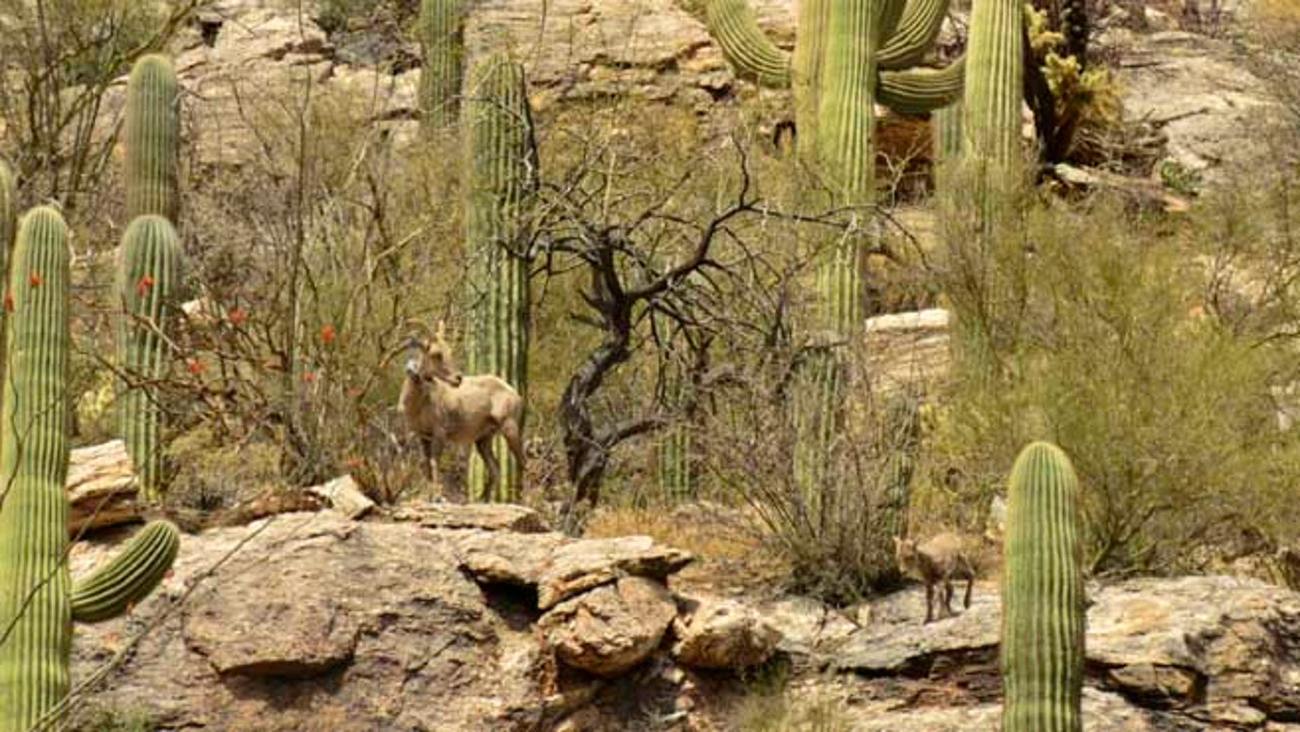 This photo, obtained by FoxNews.com, shows part of the bighorn sheep herd relocated from Yuma to the Catalina mountains, just north of Tuscon.