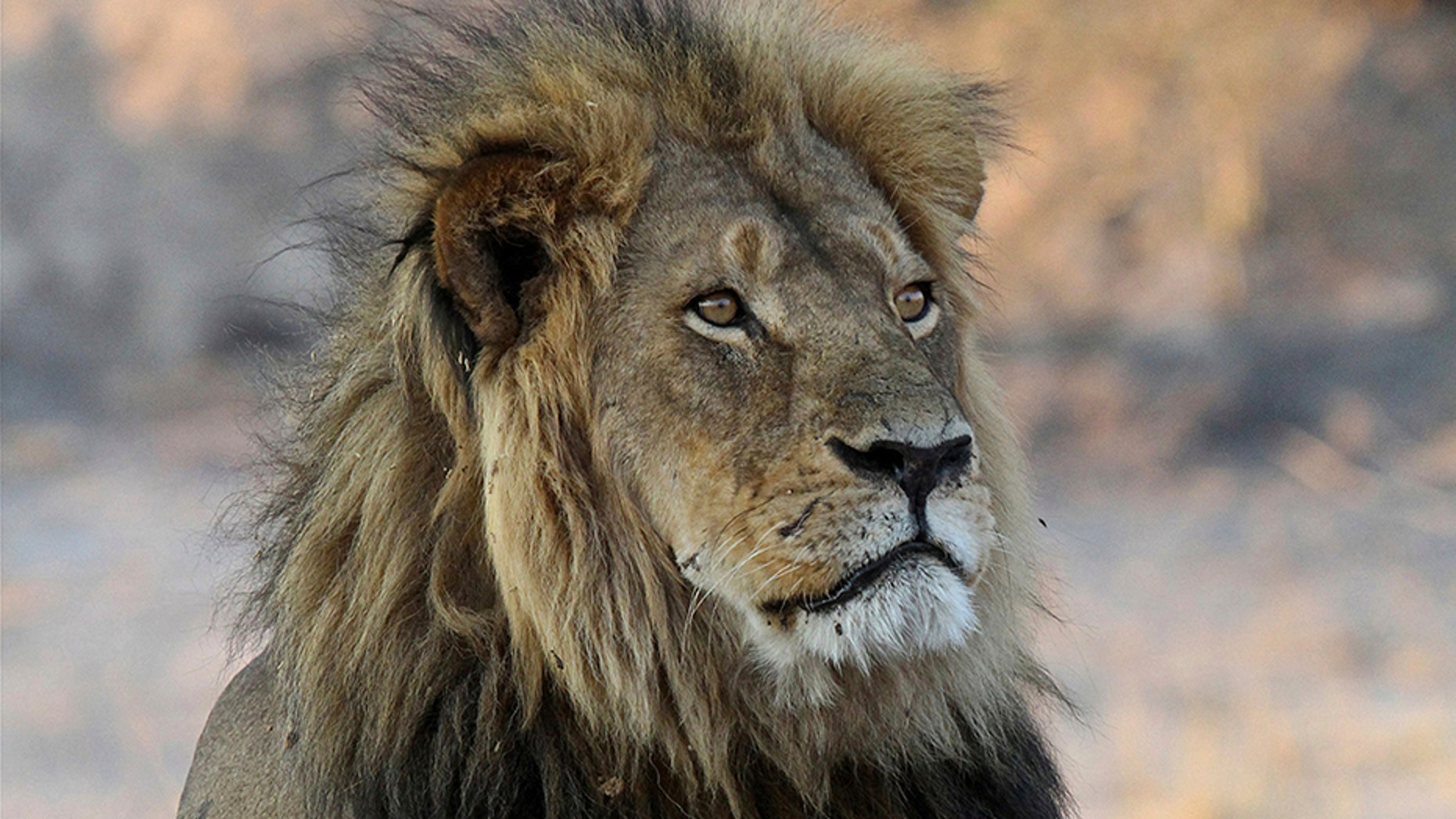 Cecil the lion, seen in this file photo, reportedly suffered for up to 12 hours before his eventual death in July 2015.