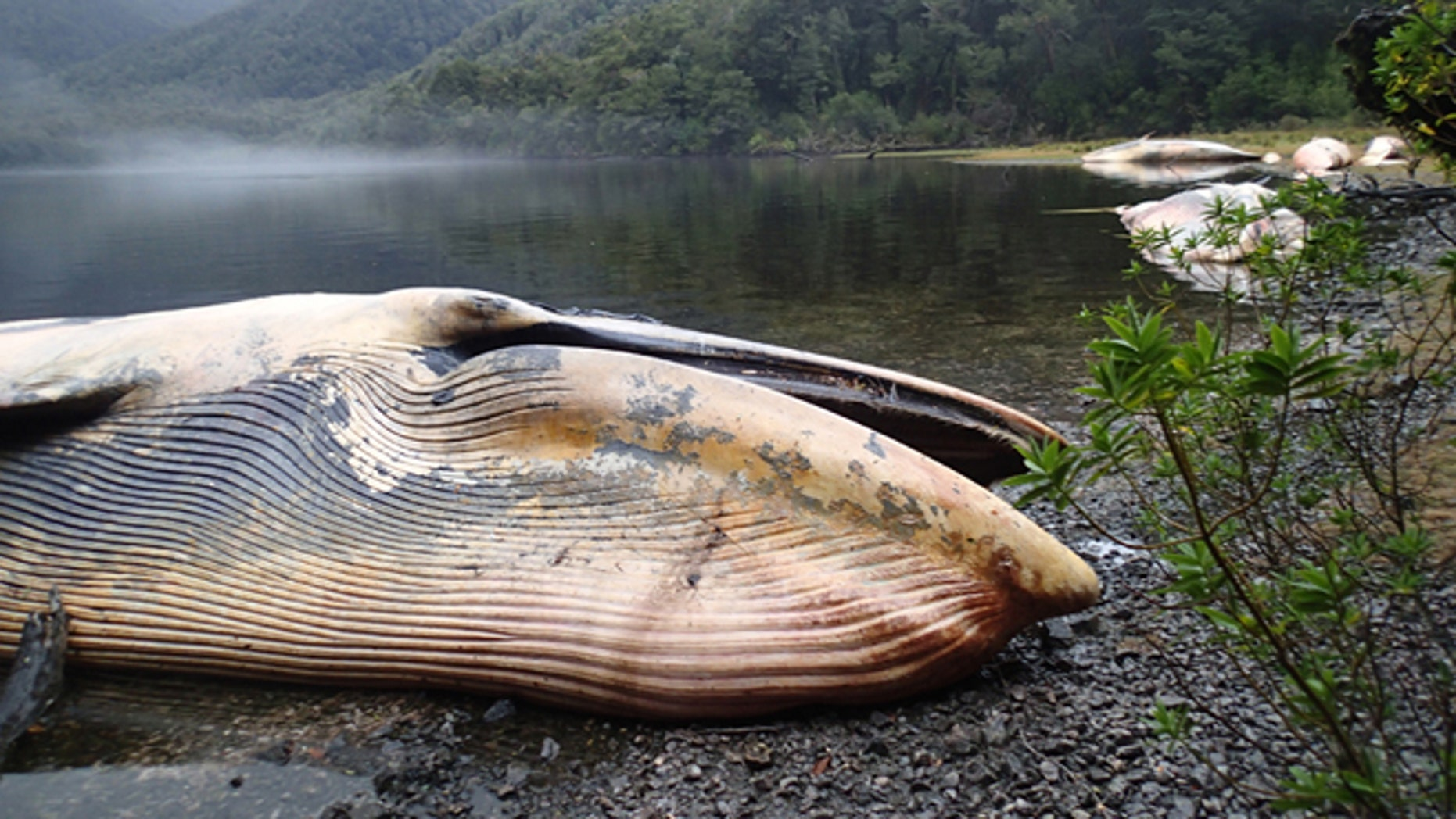 A sei whale beached on the southern coast of Gulf of Penas, Chile, earlier this year.