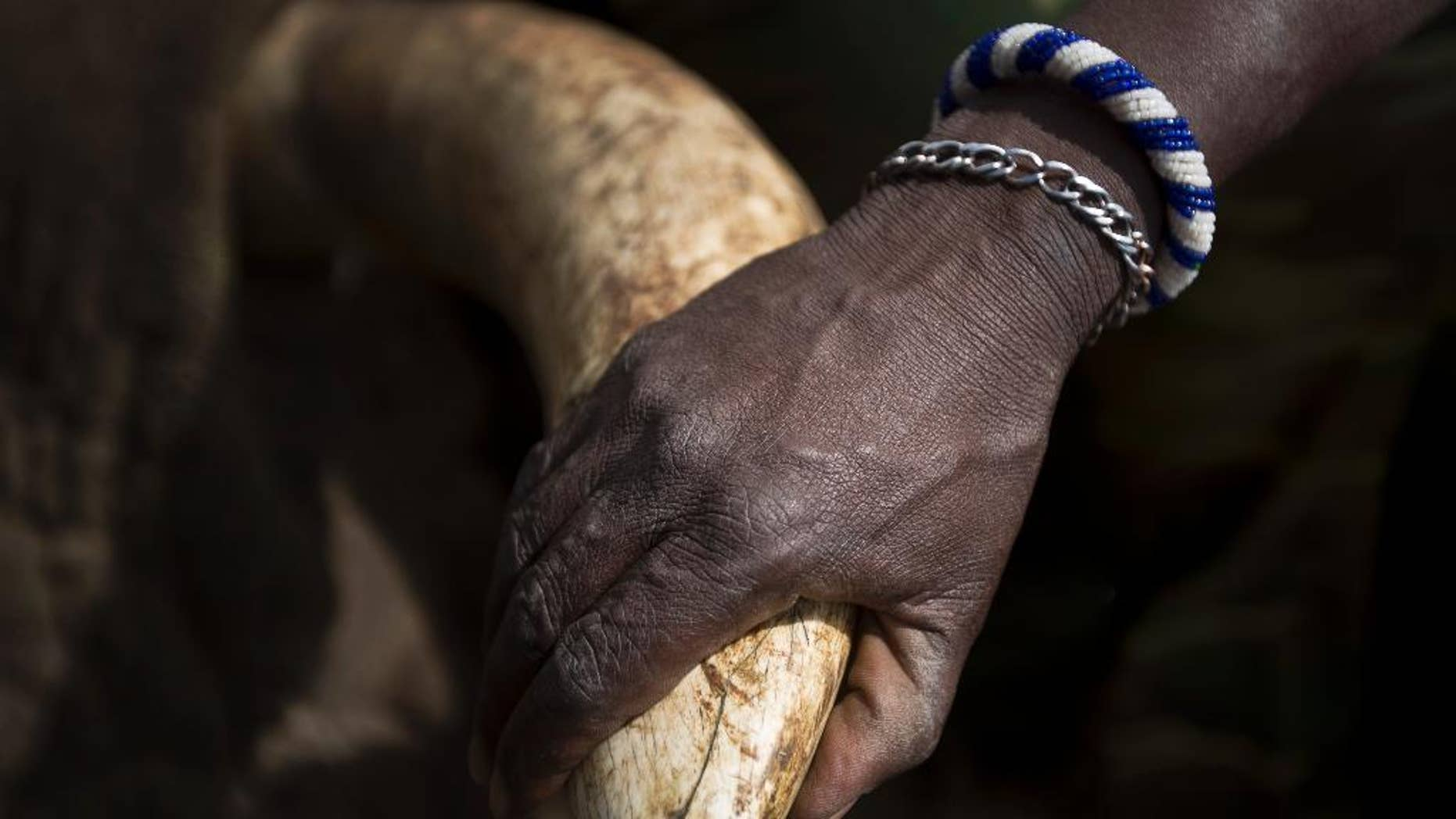 FILE - In this Tuesday, Dec. 3, 2013 file photo, a local Maasai tribesman places his hand on the tusk of a tranquilized wild elephant during an anti-poaching elephant-collaring operation near Kajiado, in southern Kenya. China imposed a one-year ban on ivory imports that took immediate effect, on Thursday, Feb. 26, 2015, amid criticism that its citizens' huge appetite for ivory has fueled poaching that threatens the existence of African elephants. (AP Photo/Ben Curtis, File)