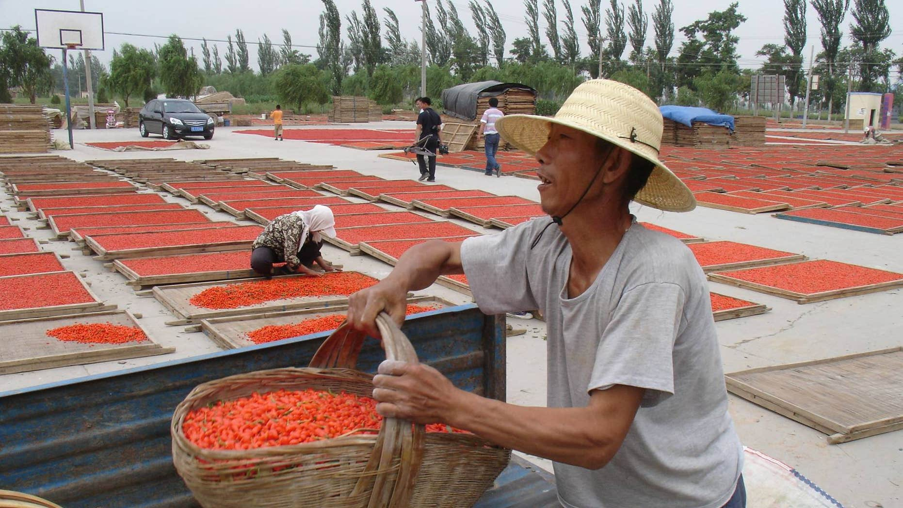 Chinese Wolfberry harvest