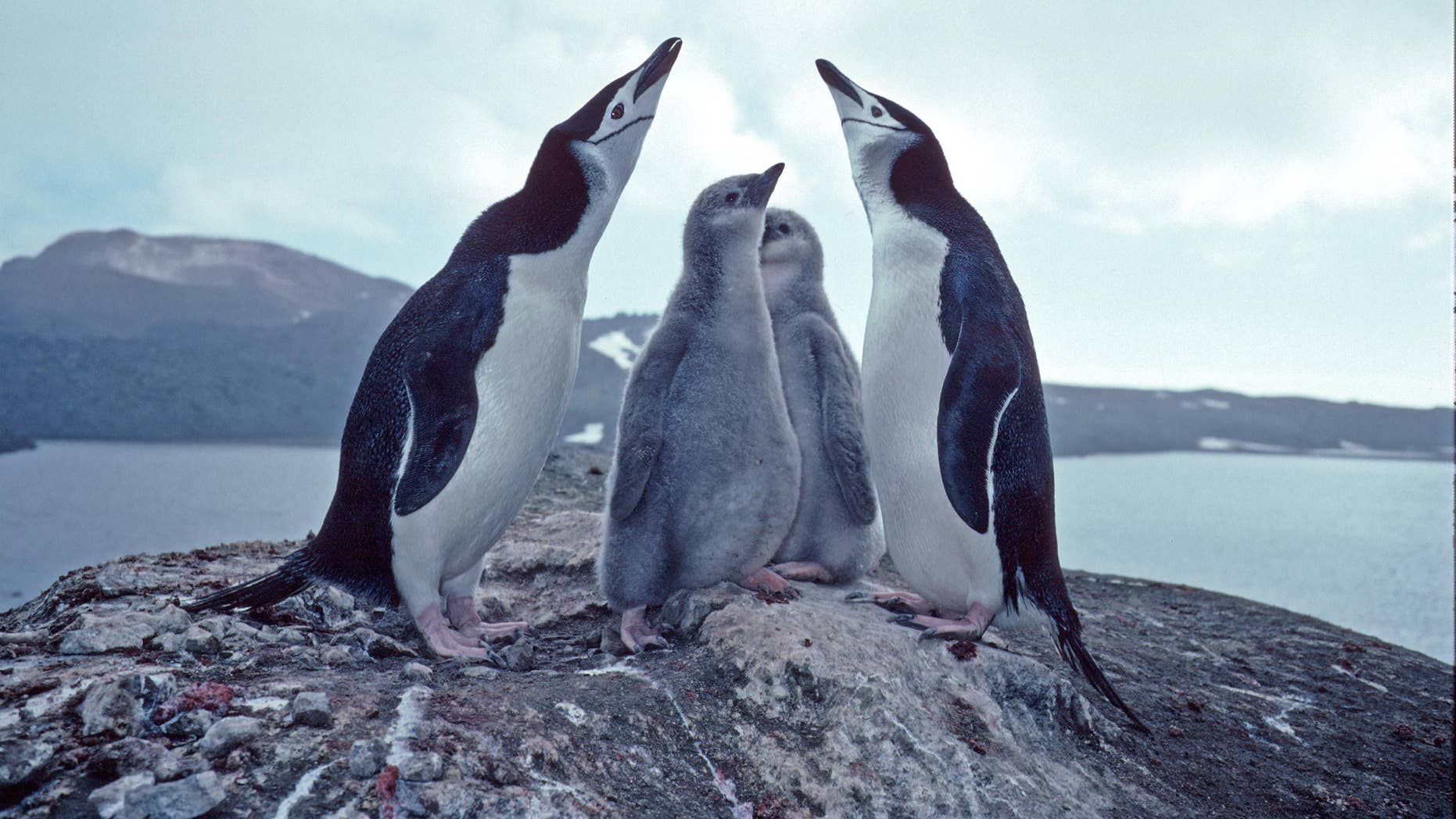Volcanic ash threatens an enormous colony of chinstrap penguins
