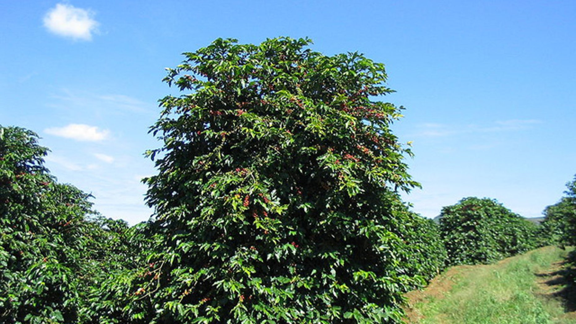 Coffee trees on a plantation in Brazil. The wild beans may be endangered by climate change, according to British botanists.