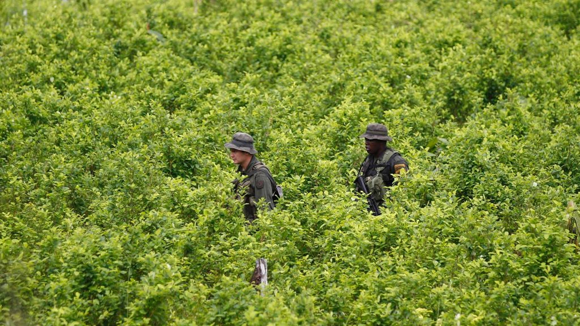 FILE - In this Aug. 15, 2012 file photo, police patrol in a coca field as hired farmers uproot coca shrubs as part of a manual eradication campaign of illegal crops in San Miguel on Colombia's southern border with Ecuador. An annual U.N. report released on Wednesday, July 15, 2015 says Colombia has surpassed Peru in land under coca cultivation, the plant used to make cocaine. (AP Photo/Fernando Vergara, File)