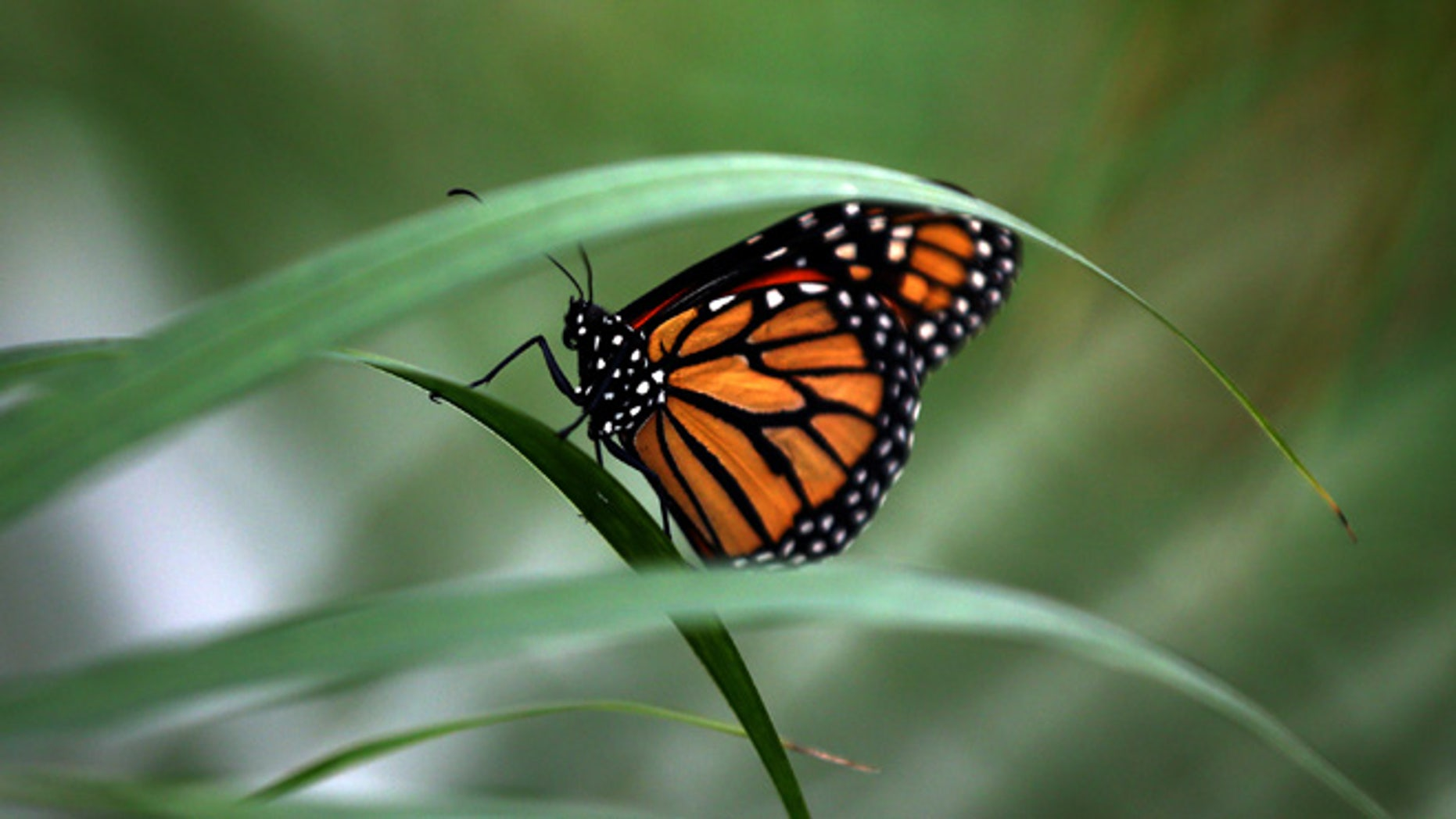 LONDON, ENGLAND - MARCH 31: A Large Tiger butterfly sits on a plant during a photocall to highlight the forthcoming 'Sensational Butterflies' exhibition at the Natural History Museum on March 31, 2015 in London, England. The exhibition will run from 2nd April to 13th September and features hundreds of tropical butterflies from around the world.  (Photo by Carl Court/Getty Images)