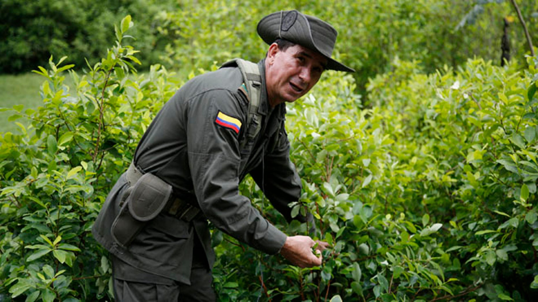 In this May 10, 2016 photo, a police officers picks coca leaves as he gives a tour of an experimental coca field at Los Pijaos police training base in San Luis, Colombia, where procedures and equipment are tested against coca growersââ¬â¢ ever-changing techniques. In the coming months, Colombia will quadruple to around 200 the number of eradication crews, each comprised of about two dozen civilians escorted by a much-larger security detail of sharpshooters, paramedics and land mine removal teams. After six straight years of declining or steady production, the amount of land under coca cultivation in Colombia began rising in 2014 and jumped 42 percent last year, according to the U.S. government.  (AP Photo/Fernando Vergara)