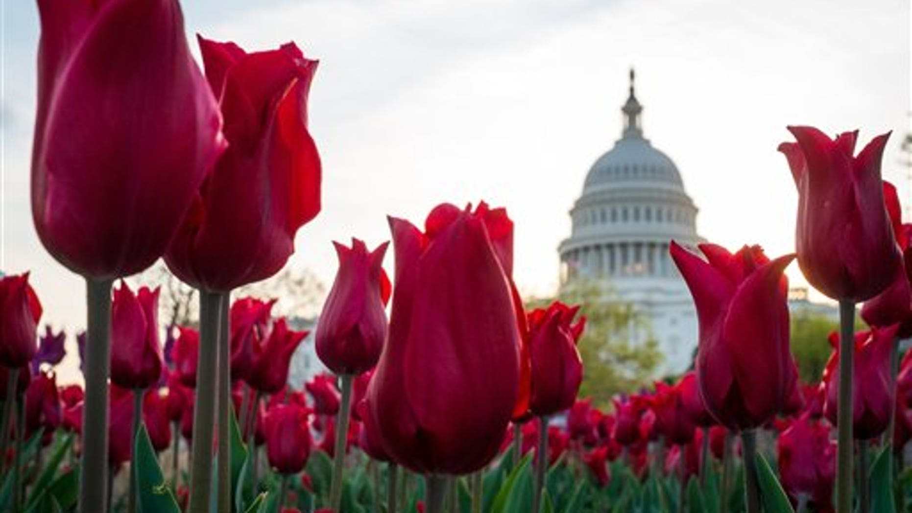 In this April 22, 2014, photo, tulips bloom in front of the Capitol in Washington. Congress gets back to work Monday, April 28, after a two-week vacation, and its looking like lawmakers will do what they do best: the bare minimum. Forget immigration, a tax overhaul, stiffer gun checks. Theyre all DOA. Raising the minimum wage or restoring lost unemployment benefits? Not going to happen. Forcing government approval of the Keystone XL pipeline? Veto bait.  (AP Photo/J. David Ake)