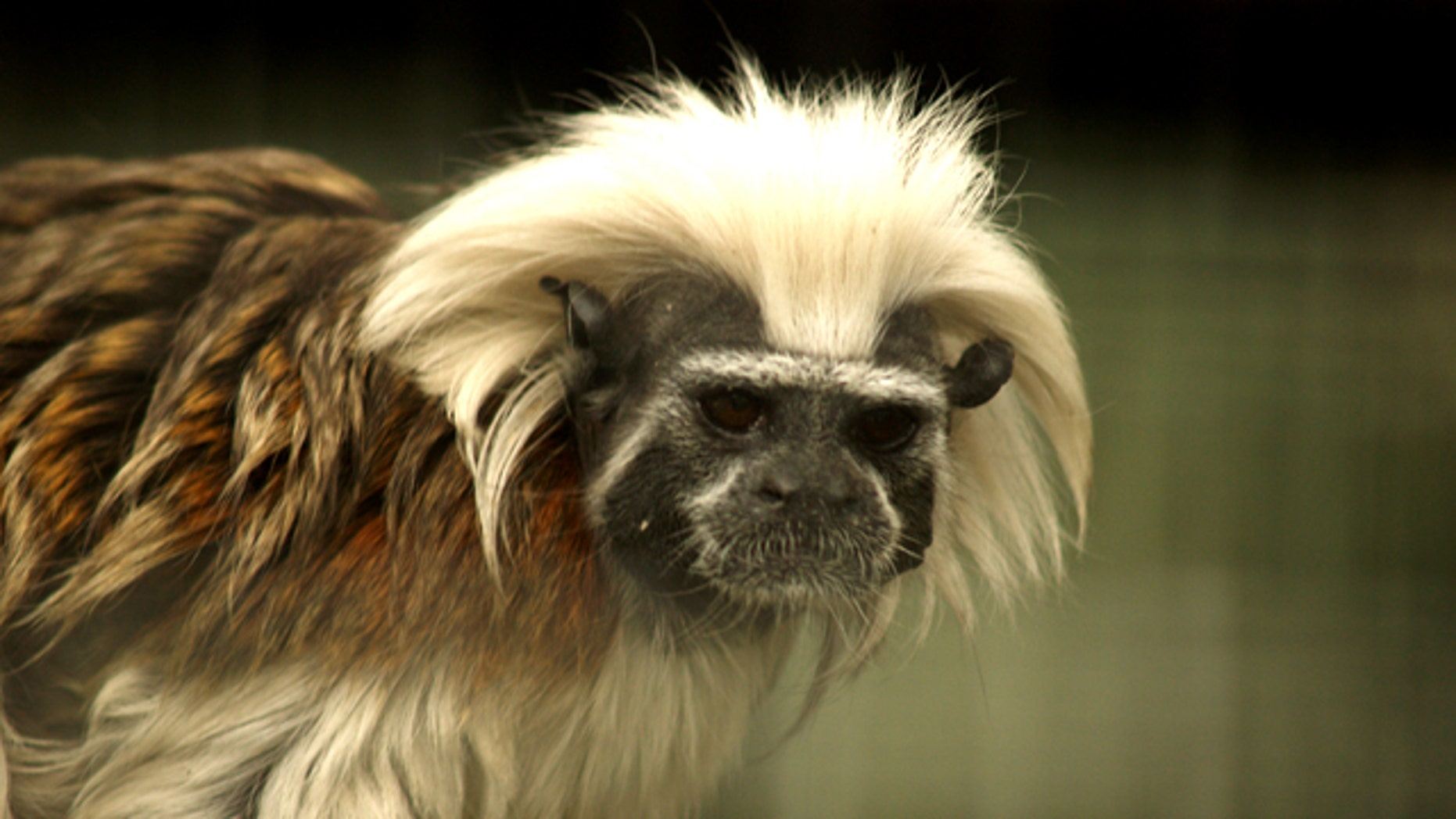The Cottontop Tamarin (Saguinus oedipus) is a small monkey weighing less than 1lb.