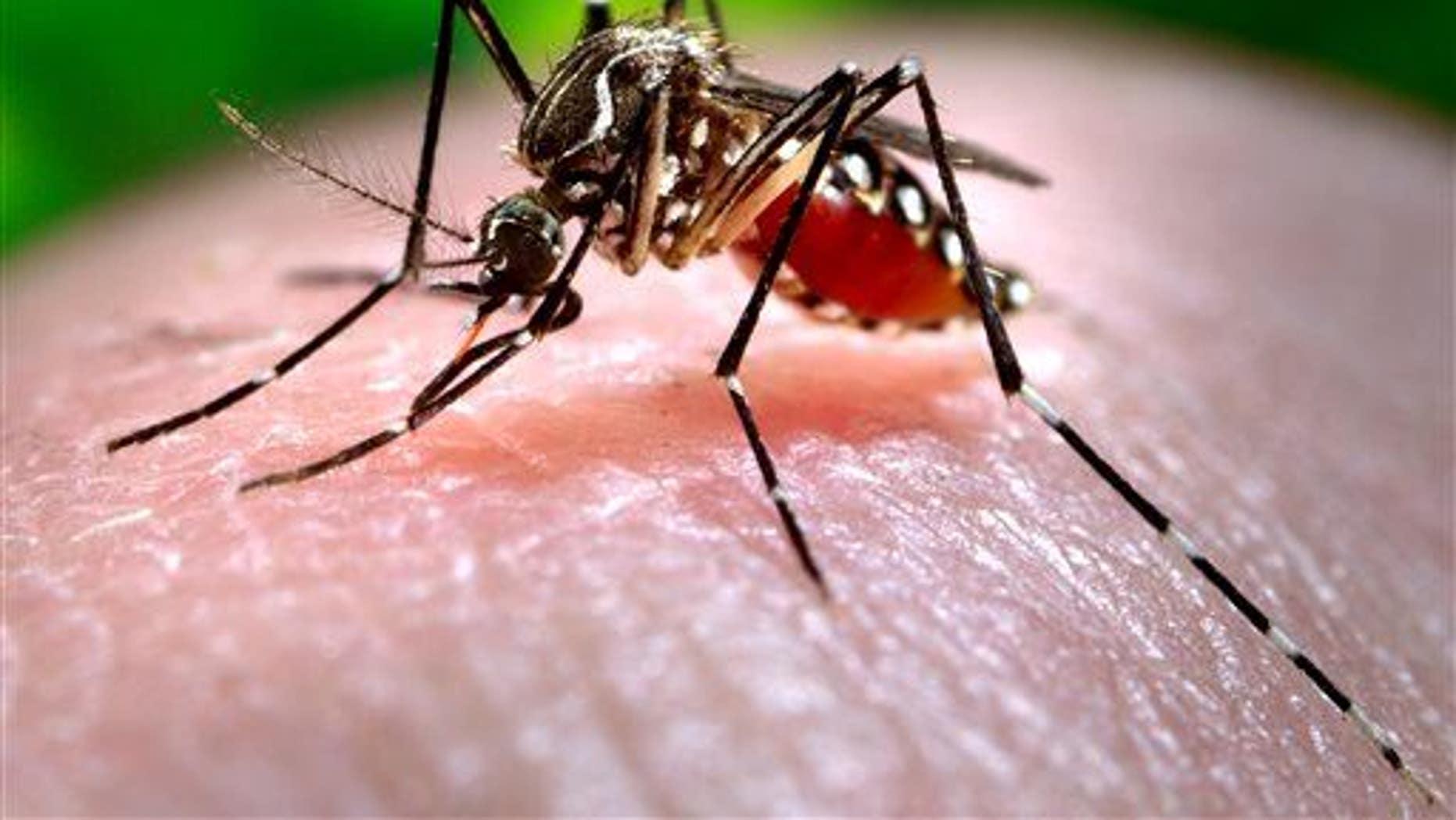 The Aedes aegypti mosquito carries Zika virus.