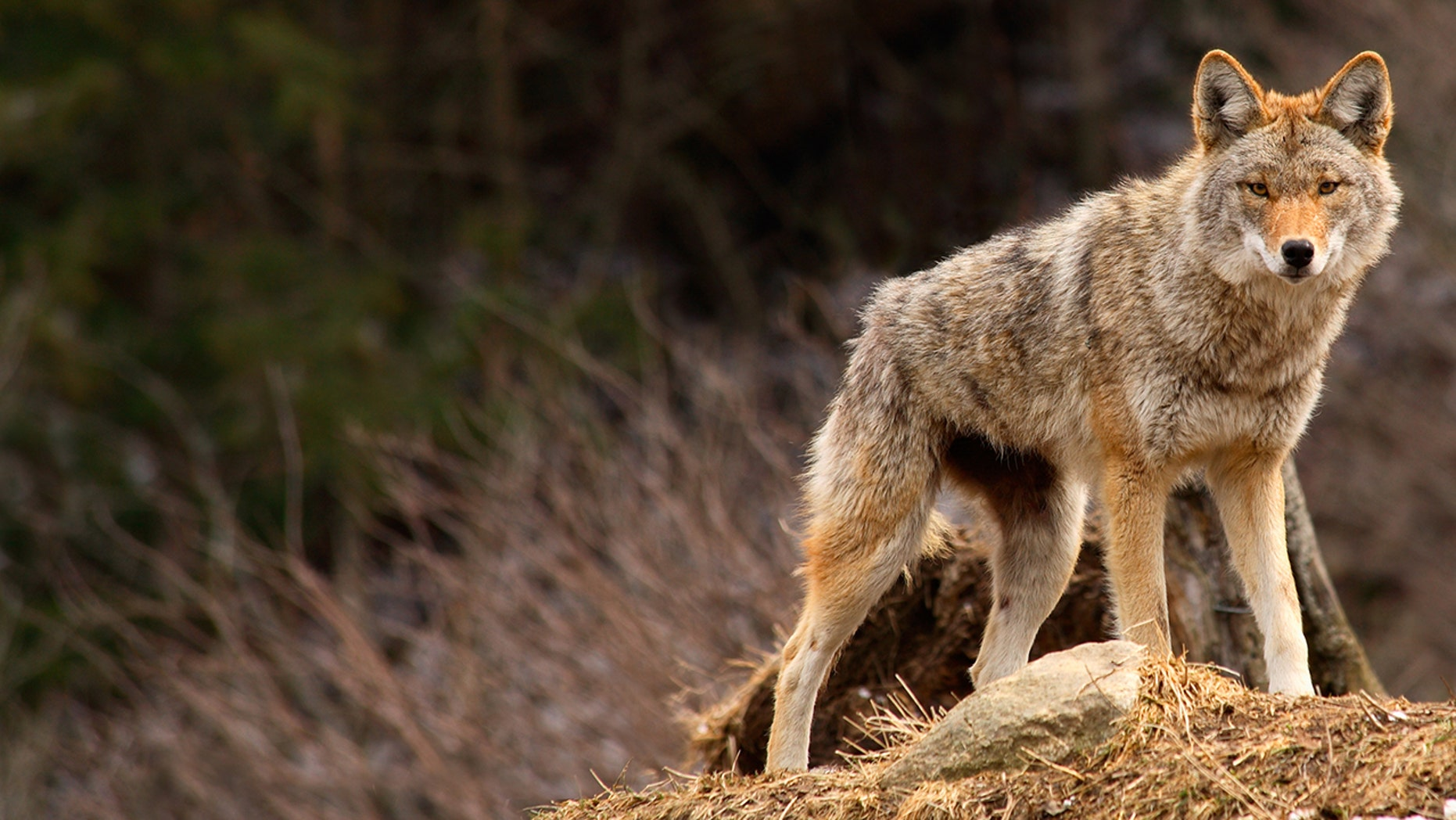 A coyote attacked a teen during the weekend in Massachusetts, local media reported.