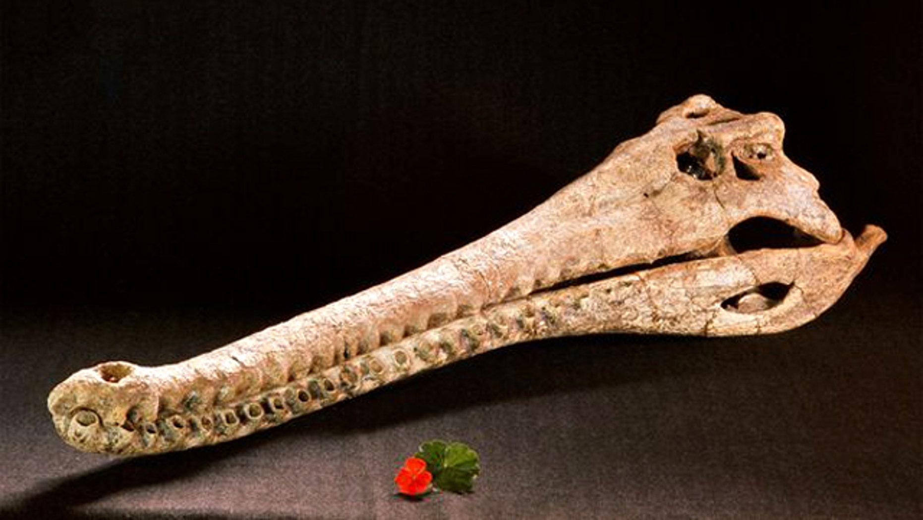 A prehistoric crocodile skull on display at a Kenya museum.