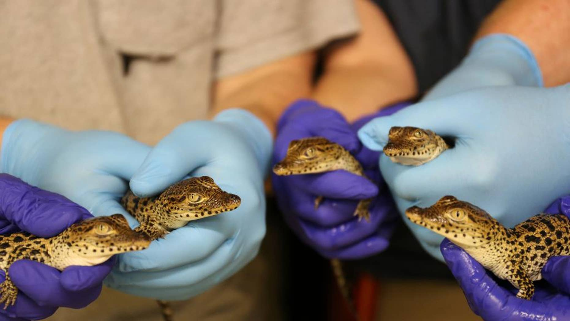 This handout photo provided by the Smithsonian's National Zoo shows five critically endangered Cuban crocodiles hatched at the National Zoo's Reptile Discovery Center between July 29 and Aug. 7. The eggs were laid by Dorothy, a 57-year-old genetically valuable crocodile.  (Smithsonian's National Zoo/Amy Enchelmeyer via AP)