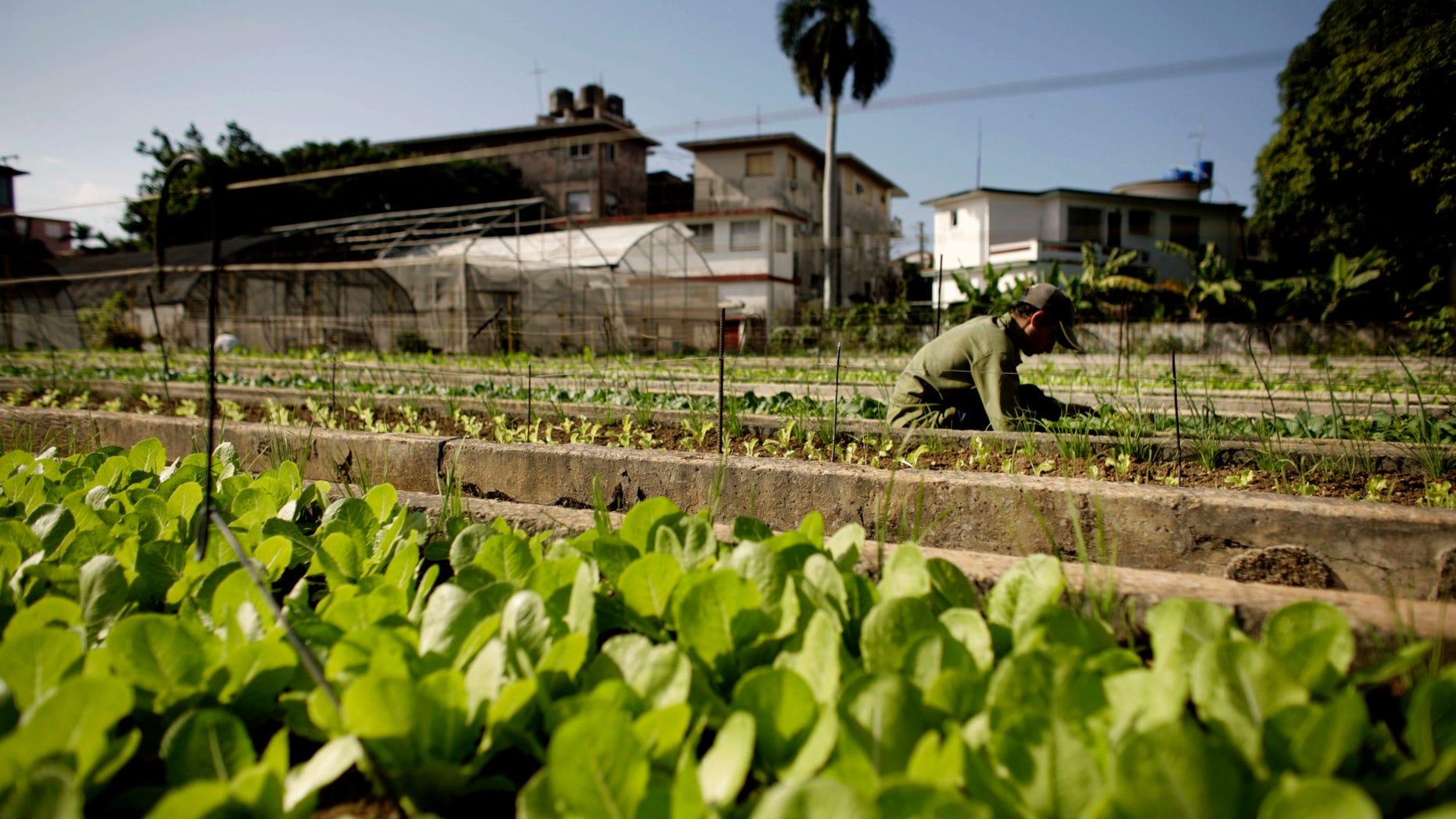 A farmer works in a lettuce field at a hydroponics farm in Havana, Cuba.
