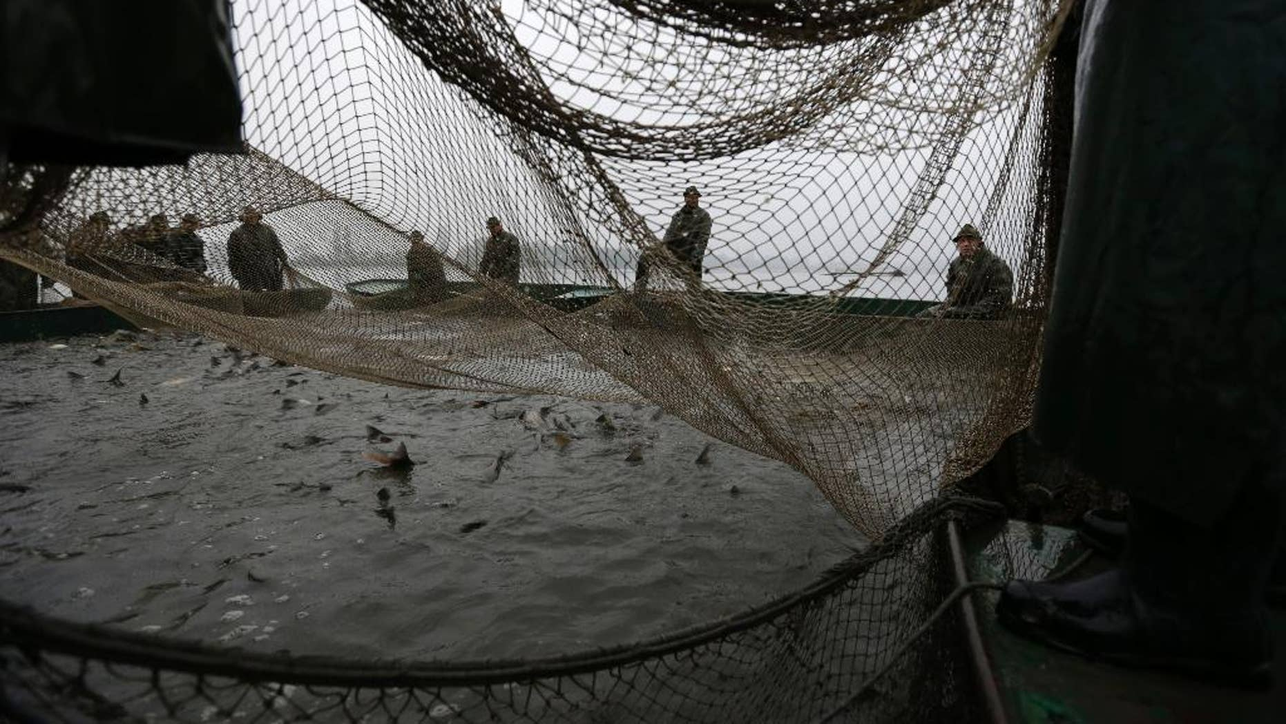 Fishermen pull the net during a traditional fish haul of the Vrkoc pond near the town of Pohorelice, Czech Republic, Saturday, Oct. 25, 2014. Fishermen use the traditional, centuries old way of catching the local carp considered by Czechs a delicate Christmas meal. (AP Photo/Petr David Josek)