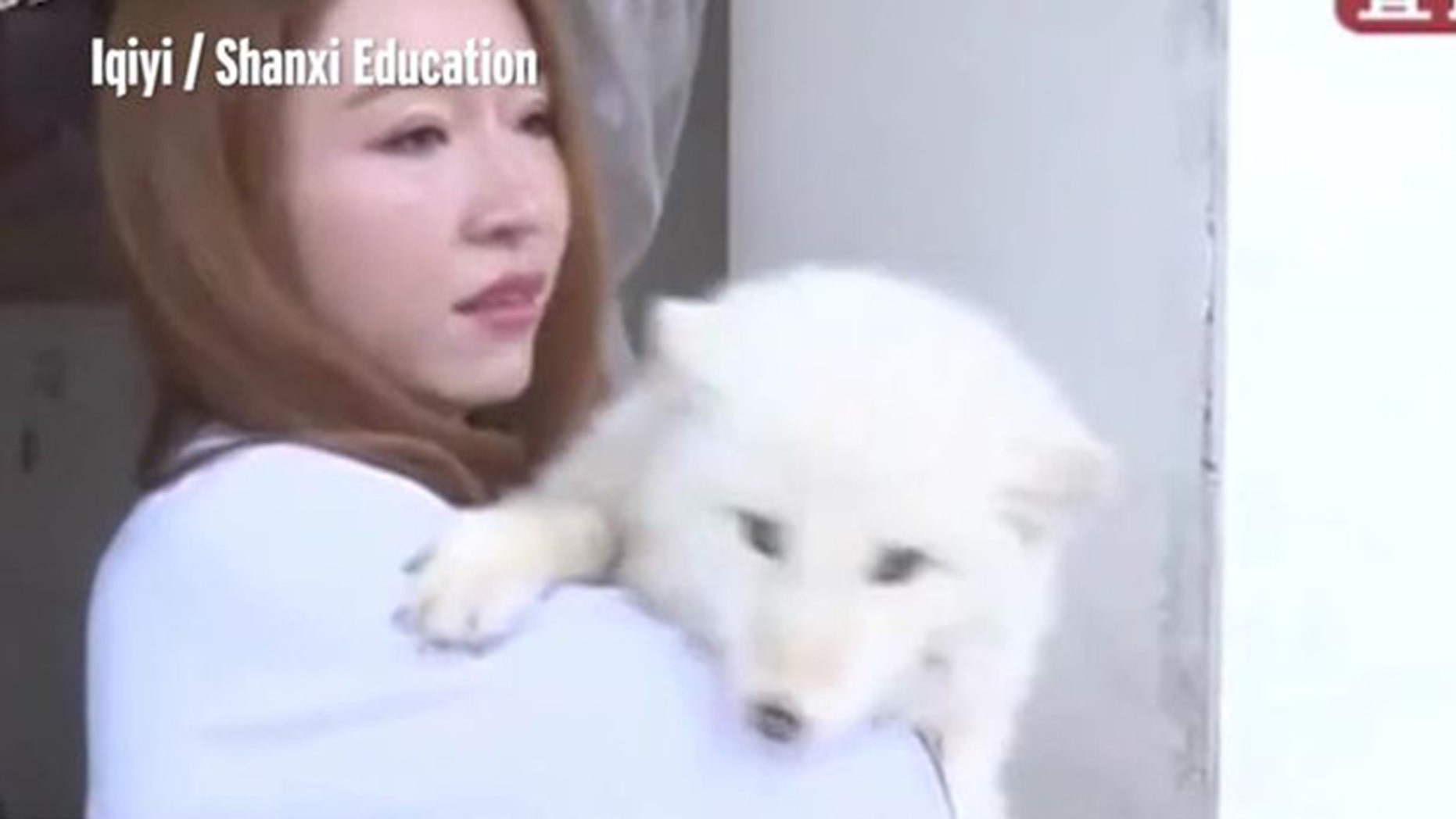 A woman named Ms. Wang went to a pet store to buy a Japanese Spitz puppy, but quickly discovered the creature was a fox.