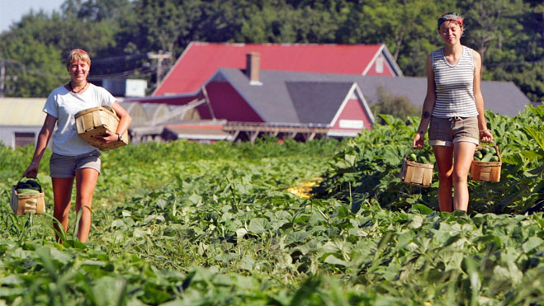 FILE 2010: Members of a picking crew work at Tuttle Farm in Dover, New Hampshire.
