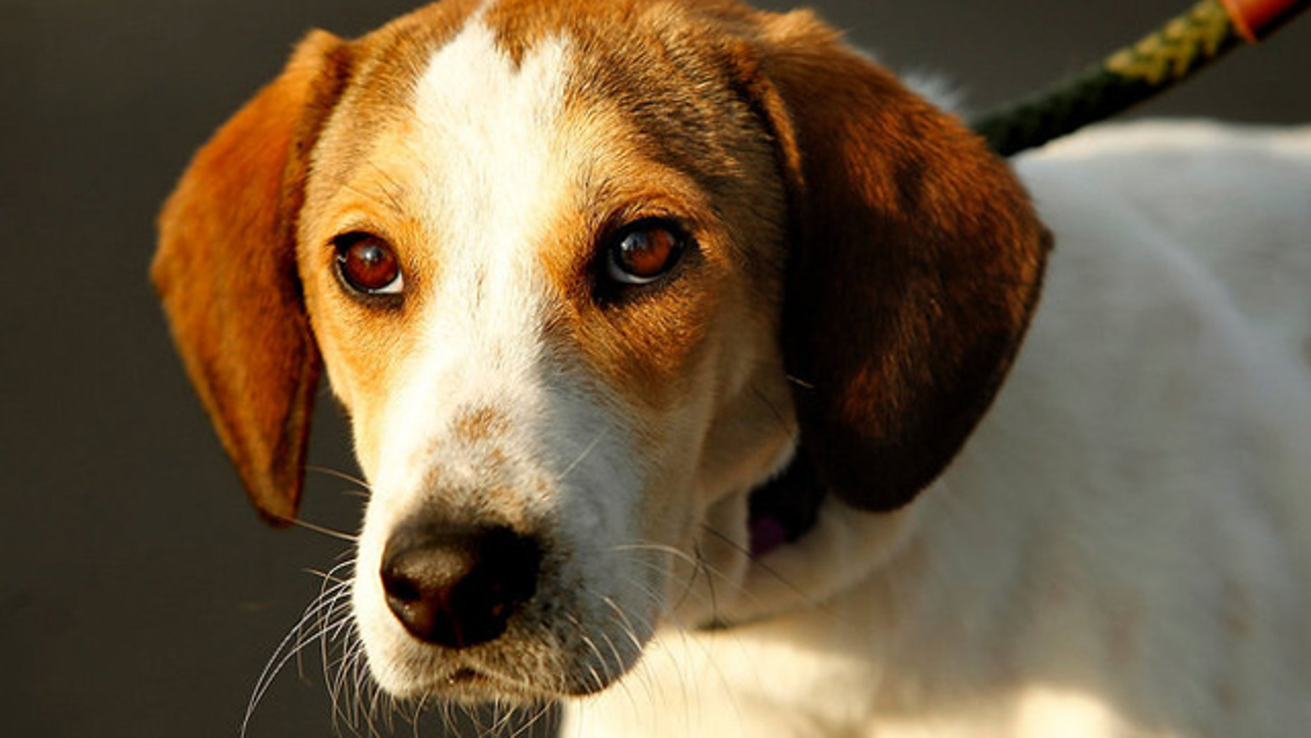 Oct. 26, 2011: A beagle named Daniel, after surviving an Alabama pound's gas chamber, is taken to New Jersey for adoption by Eleventh Hour Rescue.