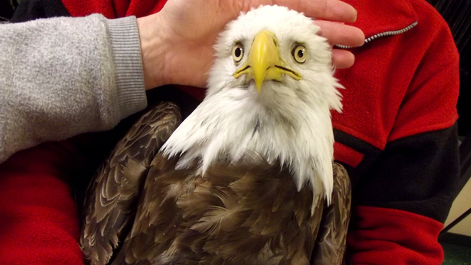 One of four bald eagle that was brought into the Wildlife Rehabilitation Center of Northern Utah but eventually died. Officials say 27 bald eagles have died since Dec. 1, and six others are being treated.