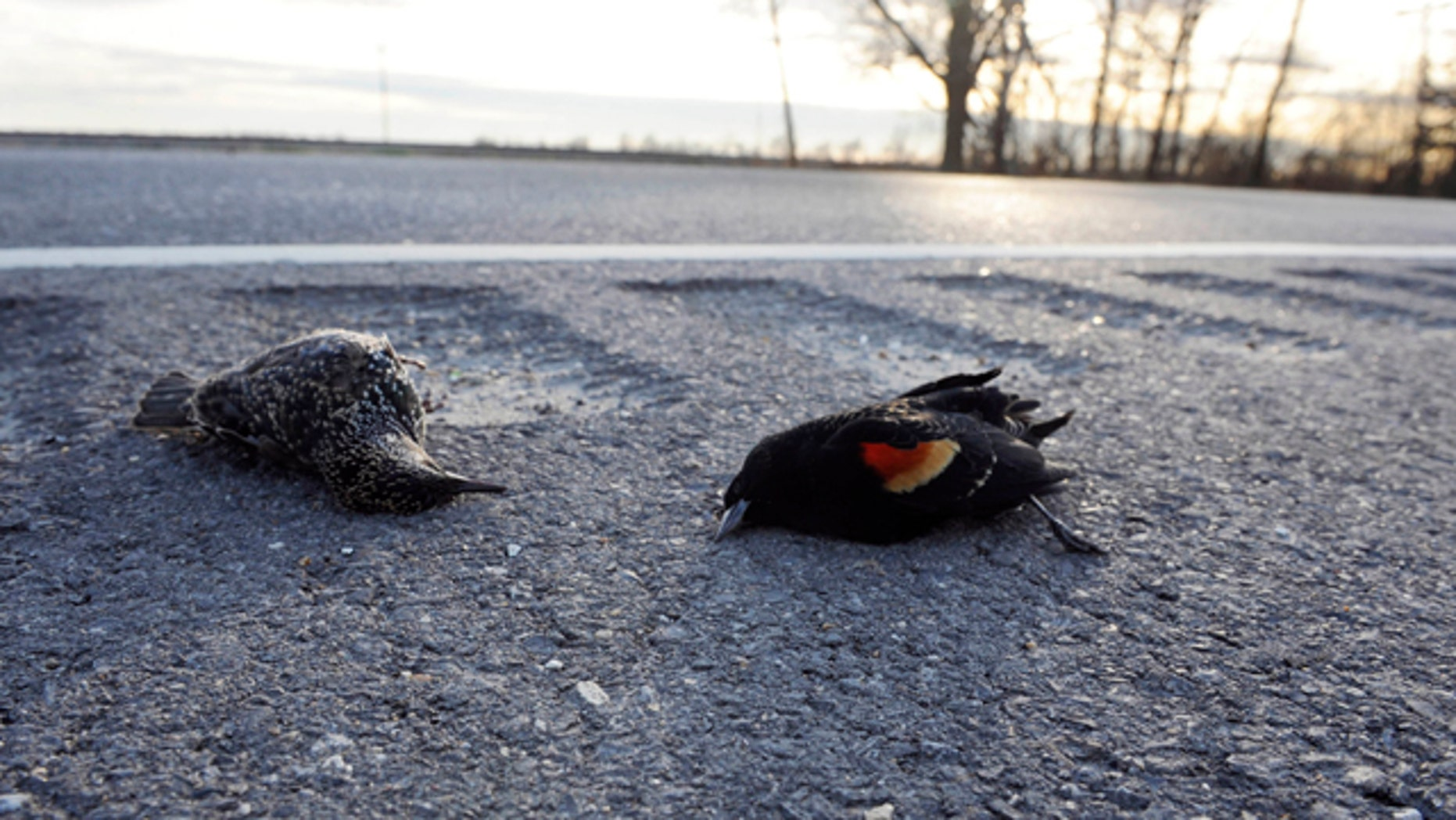 A dead starling, left, and red-winged blackbird lay along the side of the Morganza Hwy. along the side of the Morganza Hwy. in Pointe Coupee Parish, La., Monday, Jan. 3, 2011, about 300 miles south of Beebe, Ark., where more than 3,000 blackbirds fell from the sky three days earlier. Louisiana state biologists are sending some of the birds found at Labarre to laboratories in Georgia and Wisconsin for testing.
