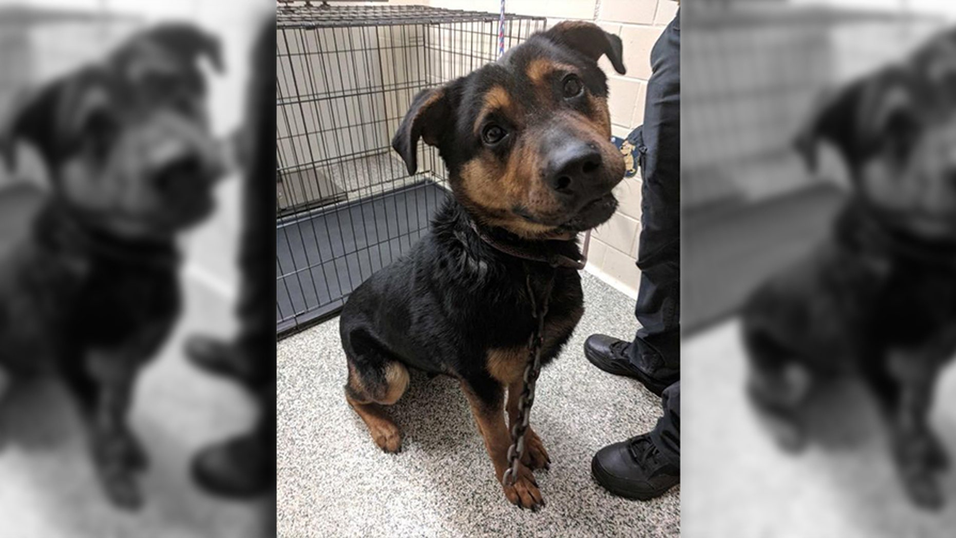 """Courage, a 3-year-old German Shepherd-Rottweiler mix, was found in Detroit with a mountain climbing hook """"literally in his skin."""""""