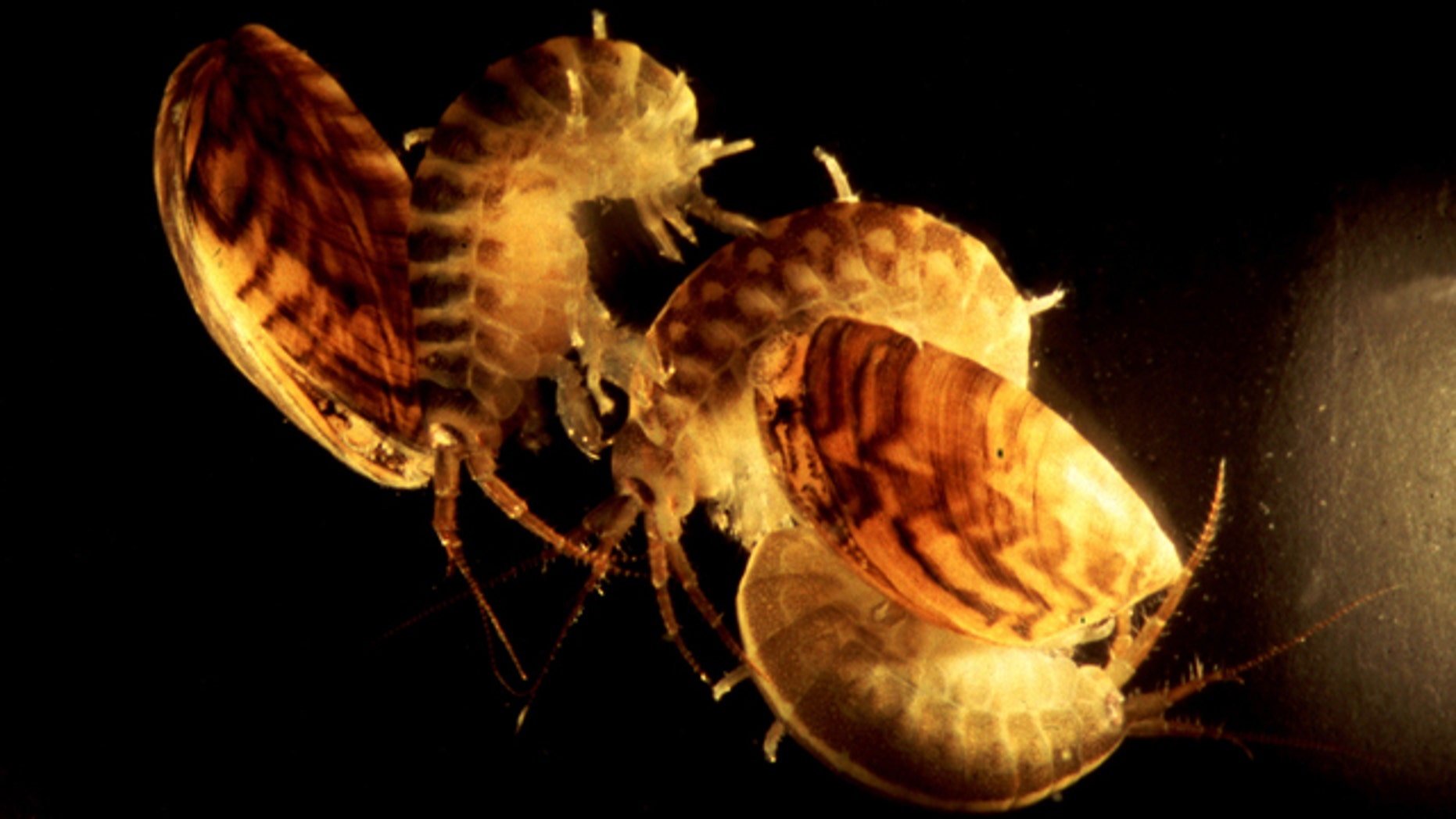 Dikerogammarus villosus may be tiny, but this crustacean is a vicious predator, shown here with zebra mussels.