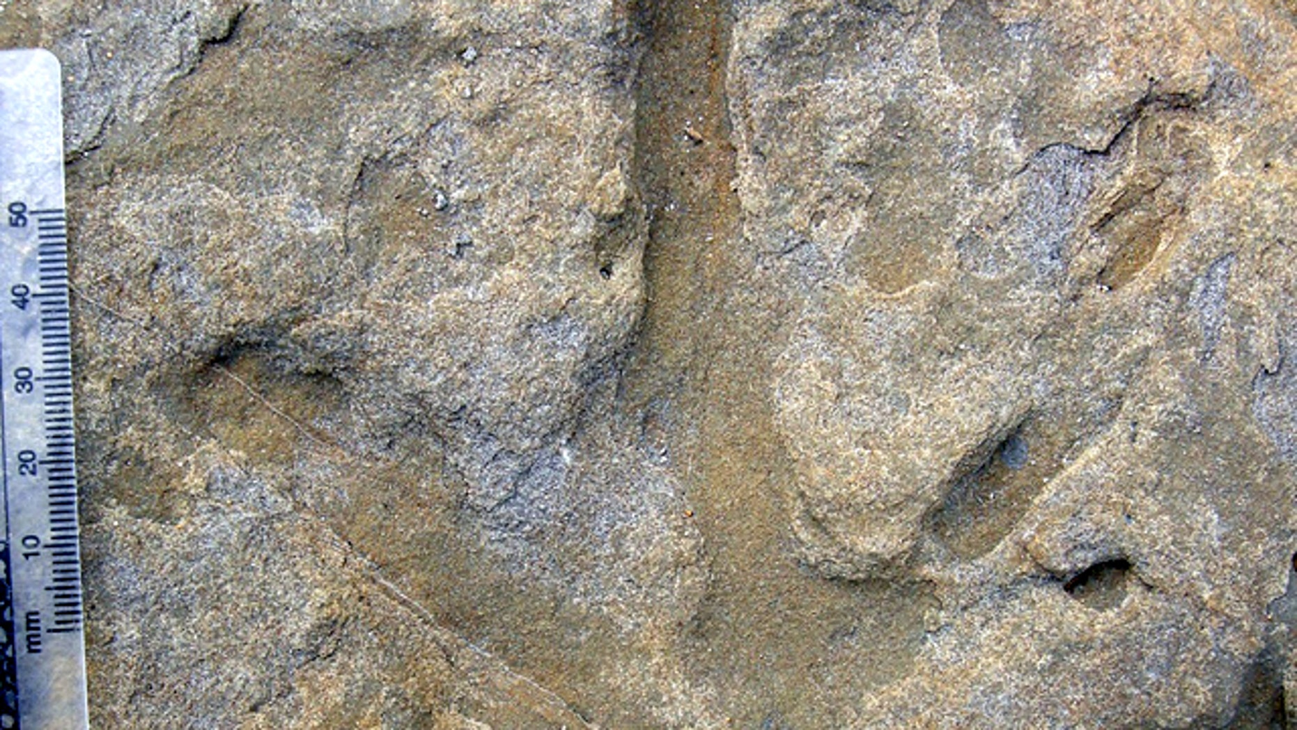 A close up view of one theropod footprint the recent spate of markings found on a beach in Australia, a part of the continent that used to be a part of the South Pole.