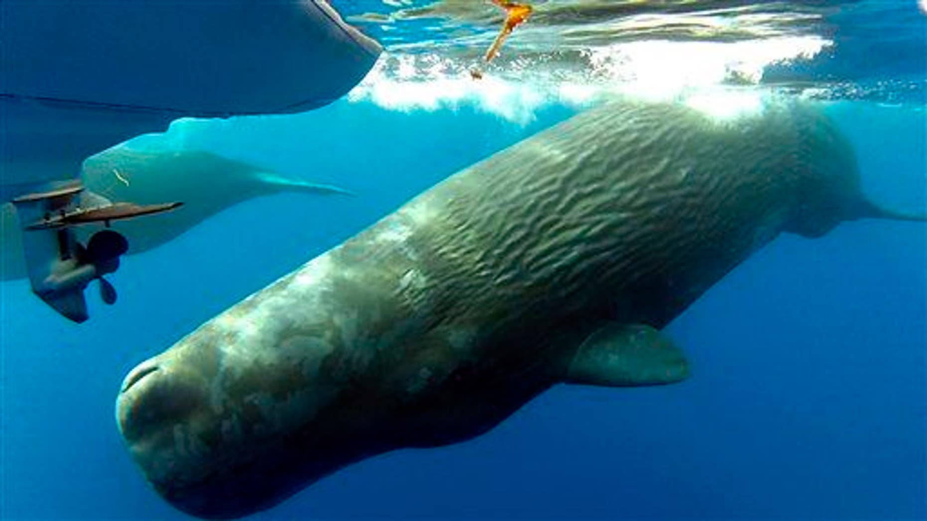 This Monday, Oct. 6, 2014 photo shows sperm whales swimming in the waters off the coast of Dana Point, Calif.