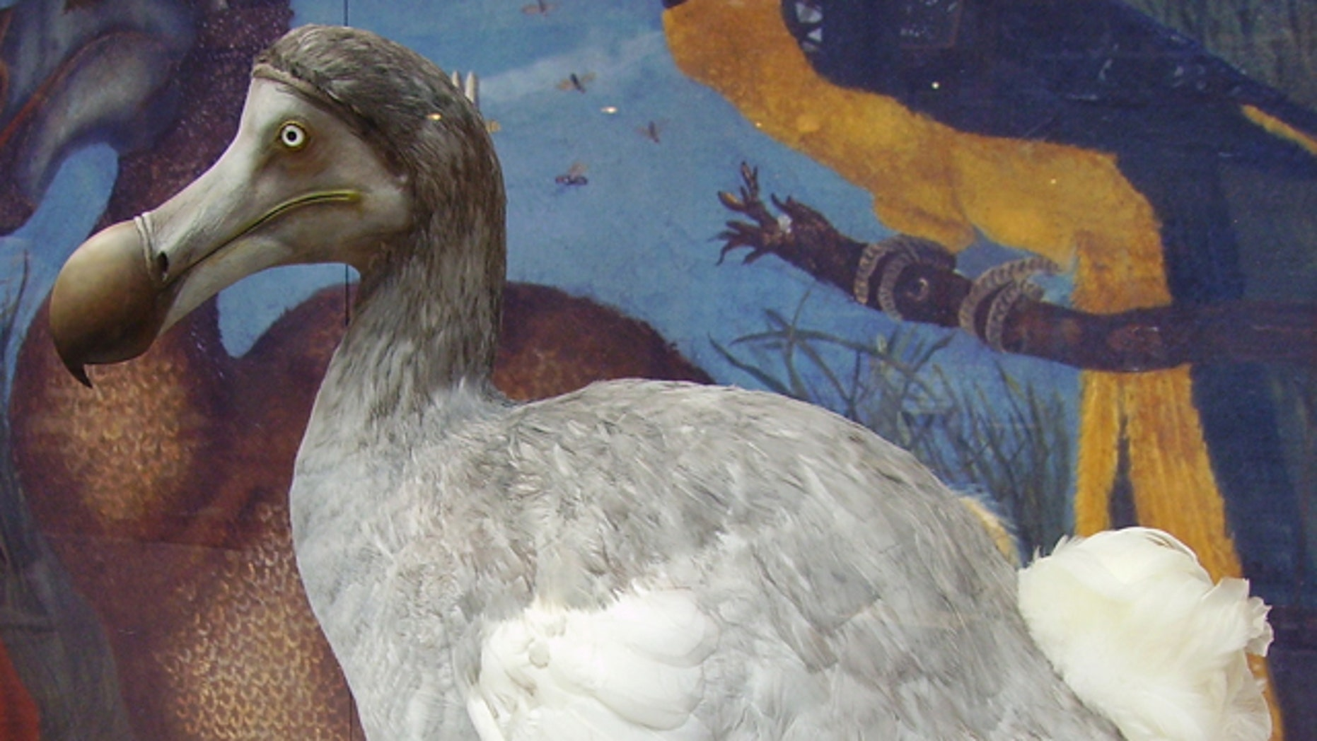 The flightless dodo went extinct in the 17th century, as a direct result of mankind's actions. Could modern science have predicted its risk -- and saved the dodo?