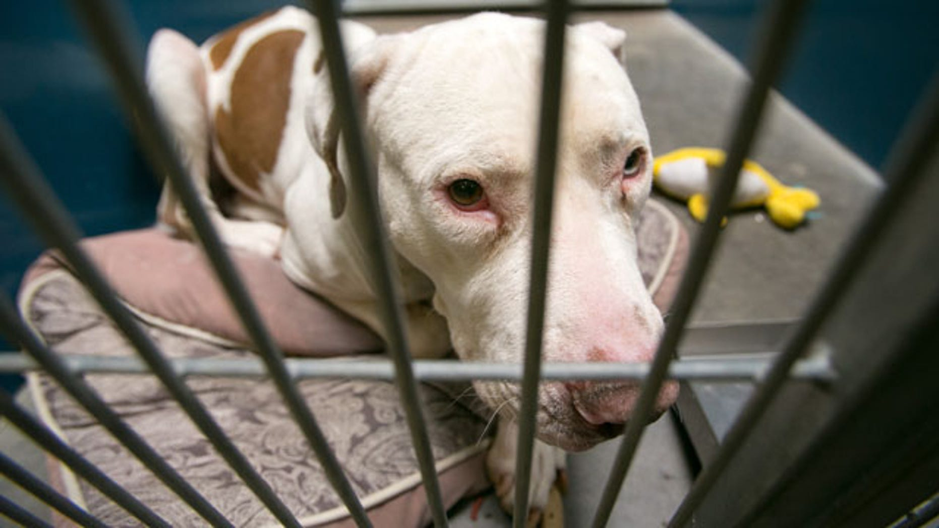 March 11, 2014: This photo shows Mickey, a pit bull, at West Valley Animal Care Center in Phoenix, Ariz. Mickey attacked four-year-old Kevin Vicente on Feb. 20, 2014. Mickey is now the object of a Facebook page that has garnered more than 39,000 likes on Facebook. The fate of Mickey, a pit bull, will ultimately be decided in a court hearing March 25 in Phoenix. Guadalupe Villa, who was at the scene of the attack, has filed a vicious-animal petition to have the dog put down. (AP Photo/The Arizona Republic, Michael Schennum)