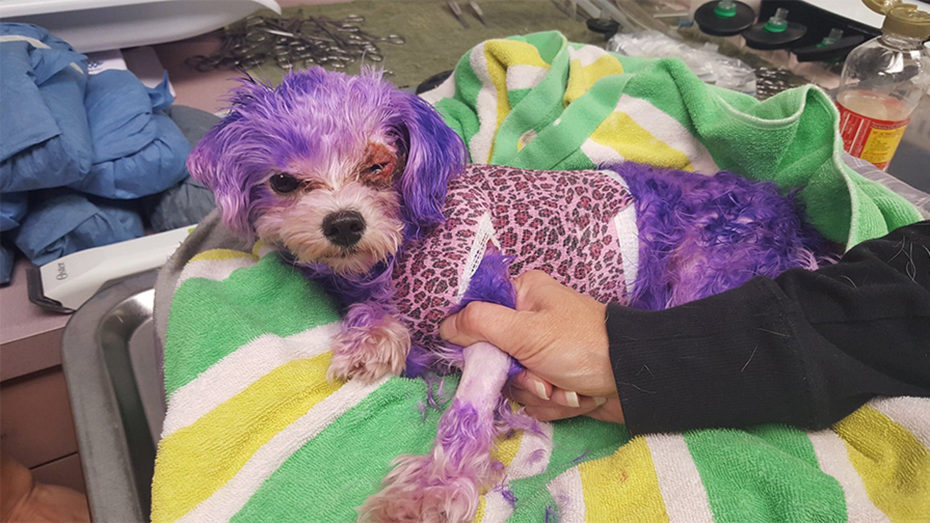 Violet, a white Maltese mix, suffered a number of physical injuries after she was colored purple with human hair dye, according to an animal services team.