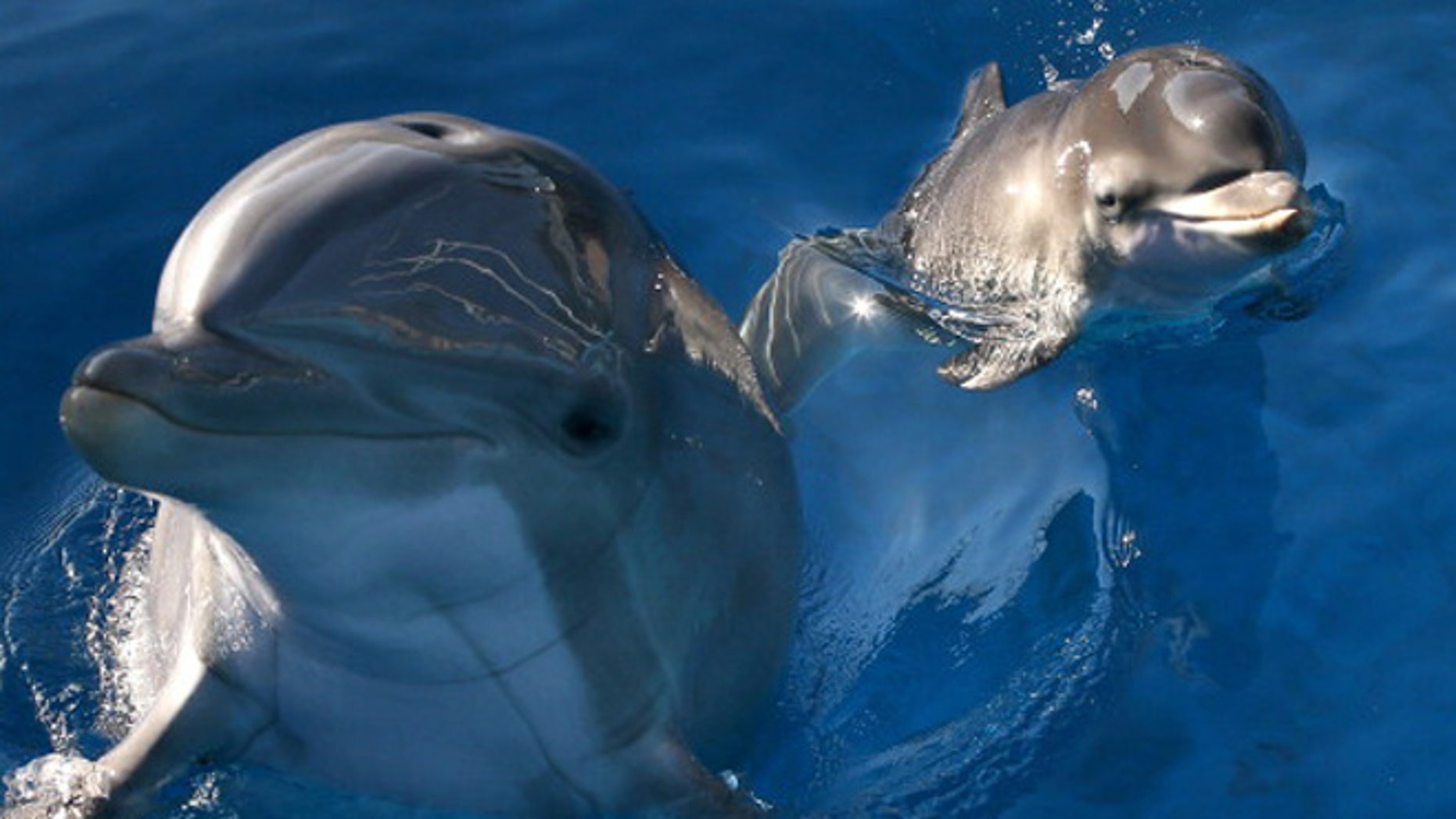 VALLEJO, CA - JANUARY 17:  Bella, a Bottlenose Dolphin, swims in a pool with her new calf named Mirabella at Six Flags Discovery Kingdom on January 17, 2014 in Vallejo, California.  Bella, a nine year-old Bottlenose Dolphin, gave birth to her first calf on January 9, 2014 at Six Flags Discovery Kingdom.  (Photo by Justin Sullivan/Getty Images)