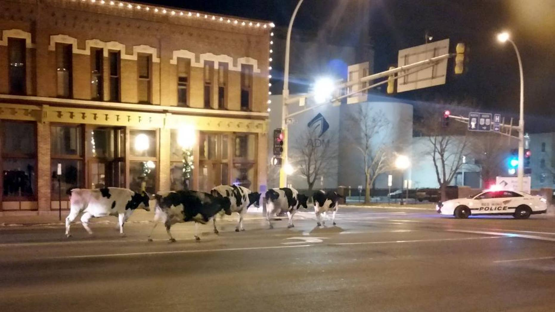 In this Dec. 3, 2014 photo provided by Jeffrey Chandler six wayward dairy cows saunter down the main drag in Red Wing, Minn., a small city tucked along the Mississippi River. Authorities say the owner noticed the cattle were missing when he returned to his farm in Hager City, Wis., and figured they were in Red Wing where he had stopped. (AP Photo/Jeffrey Chaldler)