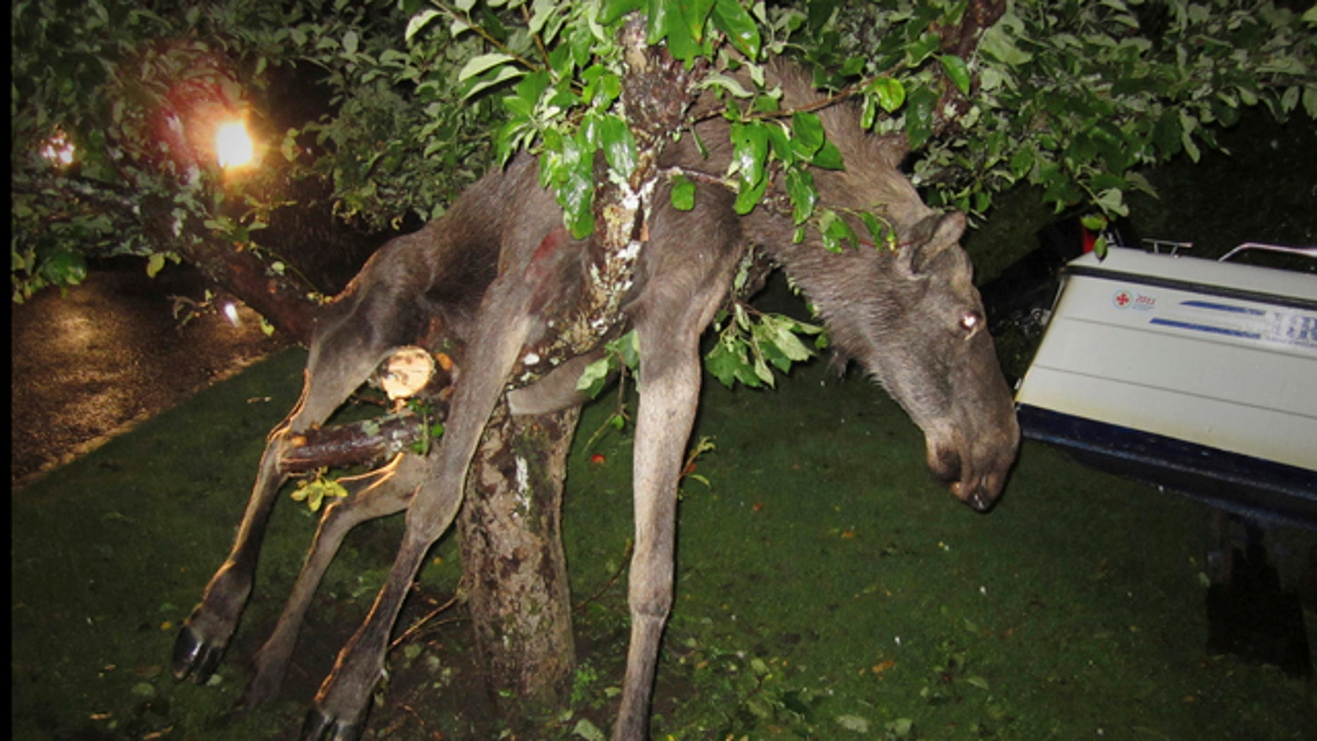 Sept. 6 2011: A seemingly intoxicated moose is discovered entangled in an apple tree by a stunned Swede in Goteborg, Sweden late Tuesday.