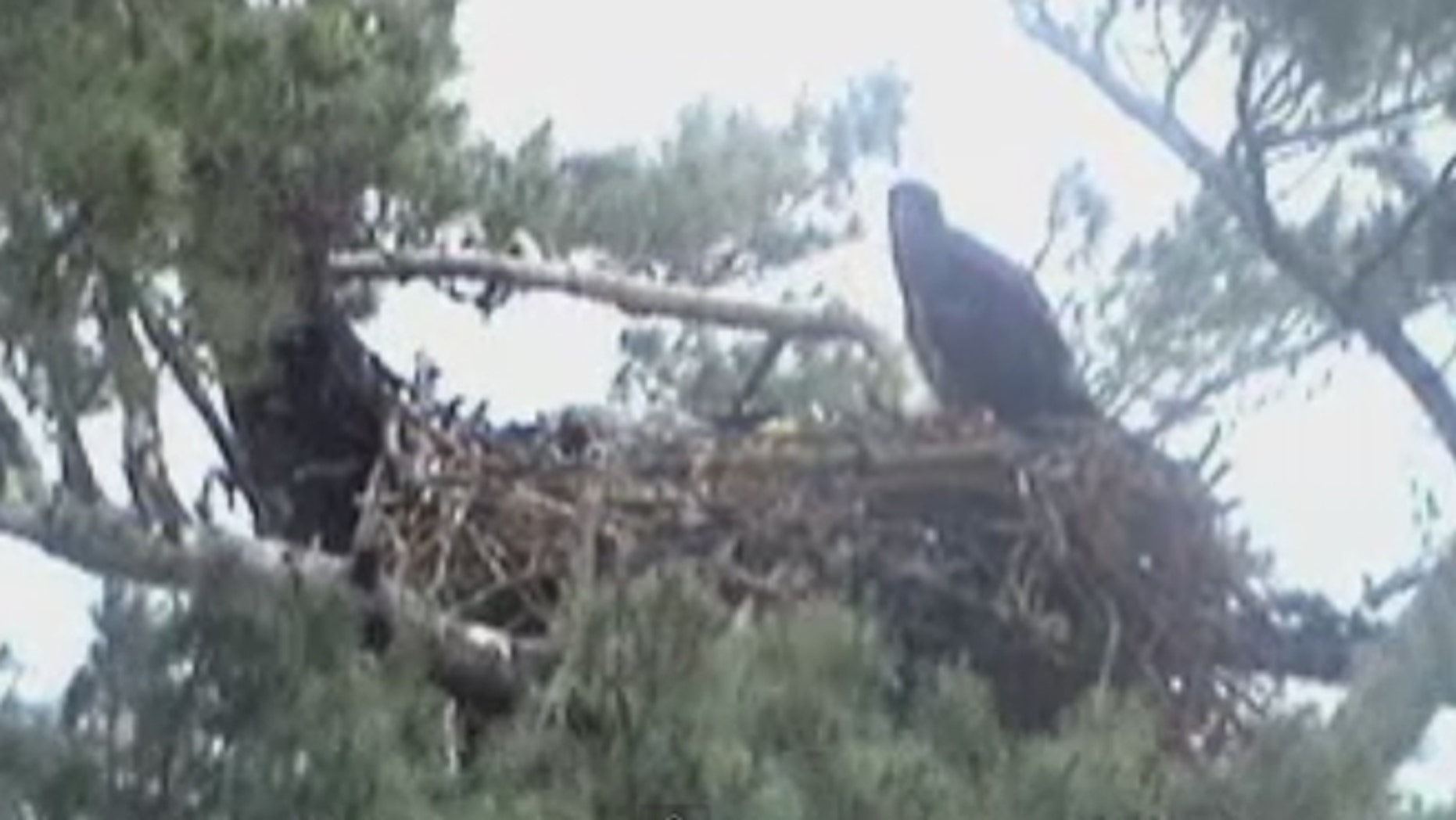 In coastal Maine, a struggling eaglet died last weekend after wildlife experts decided to let nature take its course, triggering outcry from viewers across the country.
