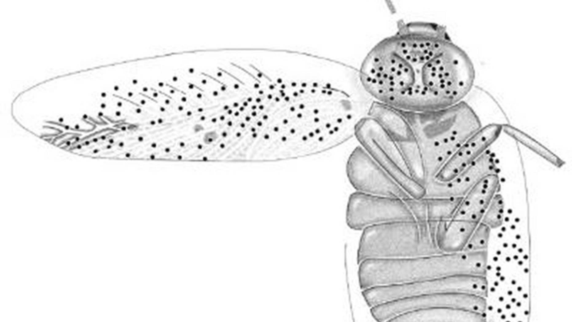A drawing based on a recently-described fossil of a female <em> Ectobius kohlsi. </em> The dots represent sensory organs known as sensilla.