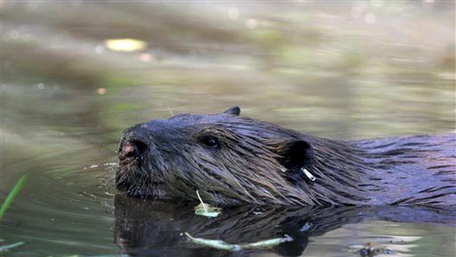 """In this Sept. 12, 2014, photo, a tagged 50-pound male beaver nicknamed """"Quincy"""" swims in a water hole near Ellensburg, Wash."""