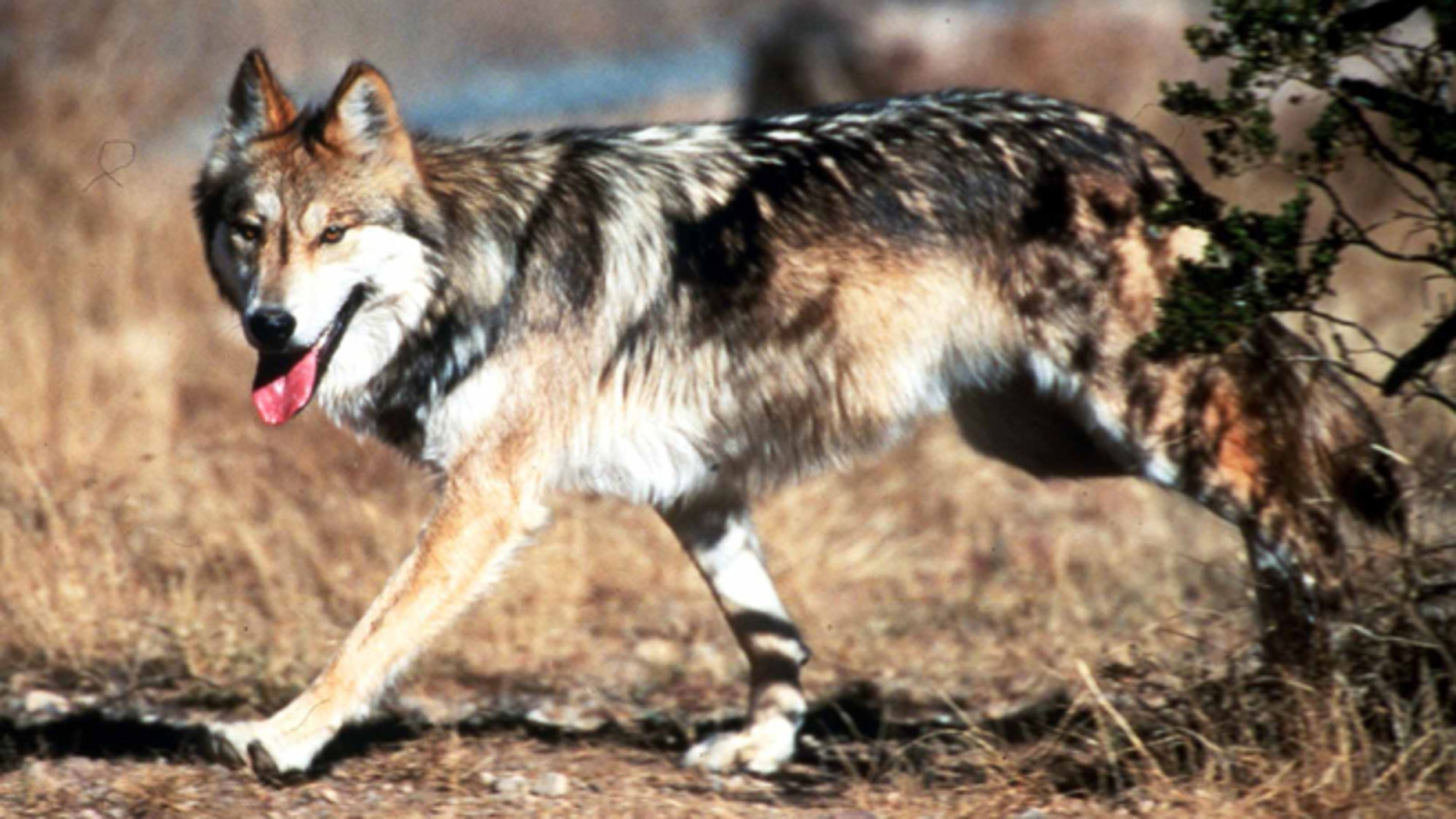 File-This undated file image provided by the U.S. Fish and Wildlife Service shows a Mexican gray wolf leaving cover at the Seviellta National Wildlife Refuge, north of Soccorro, N. M. There are more Mexican gray wolves in the wild in the New Mexico and Arizona than last year. The results of the U.S. Fish and Wildlife Service's annual survey were released Friday Jan. 31, 2014. There are at least 83 of the endangered predators in the two states, marking the fourth year in a row the population has increased. (AP Photo/U.S. Fish and Wildlife Service, Jim Clark, File)