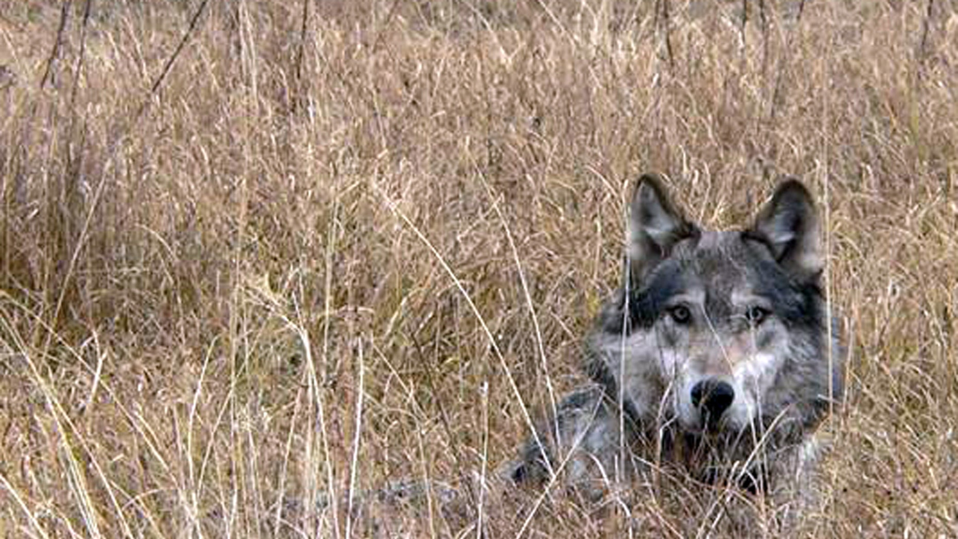 This undated image provided by Montana Fish Wildlife and Parks shows a wolf in Montana. (AP)