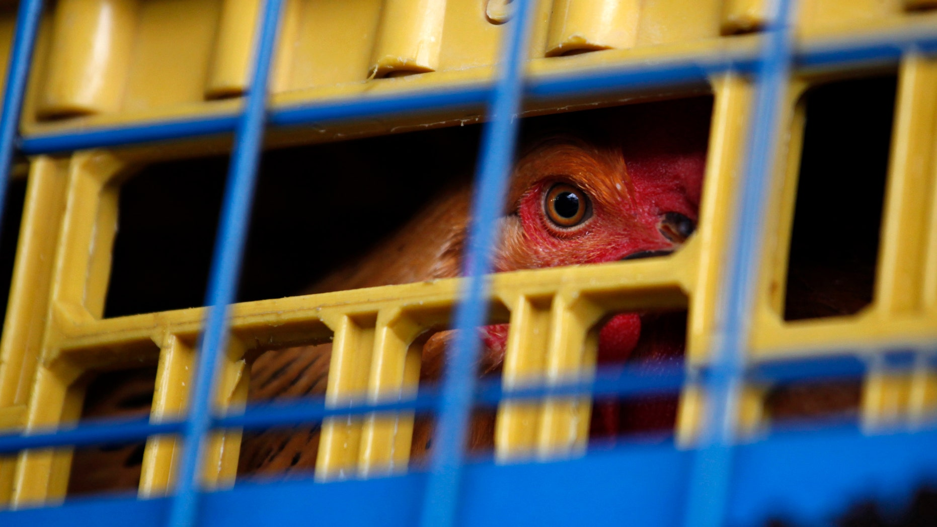 A chicken is seen inside a cage on a truck from mainland China at a border checkpoint in Hong Kong.