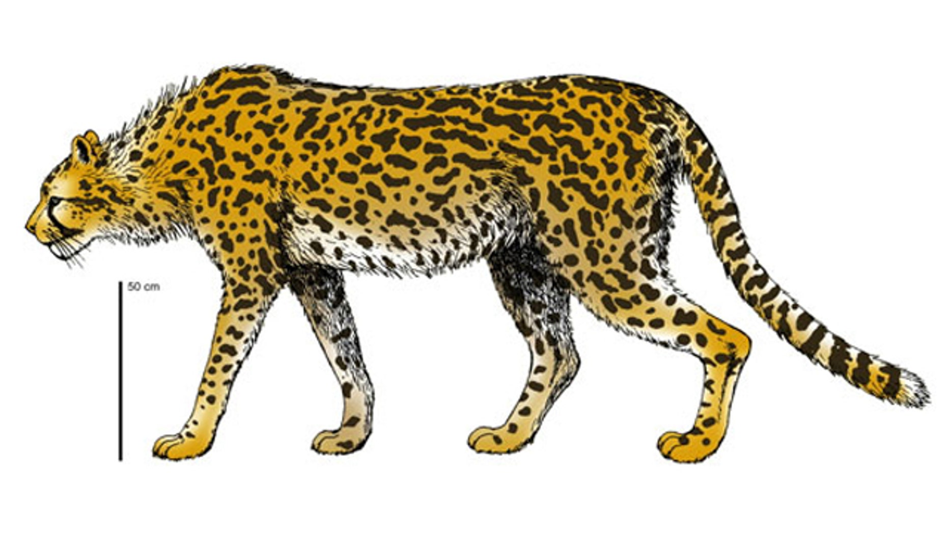 The extinct cheetah, Acinonyx pardinensis would have weighed double what its modern cousin weighs (shown here in a reconstruction).